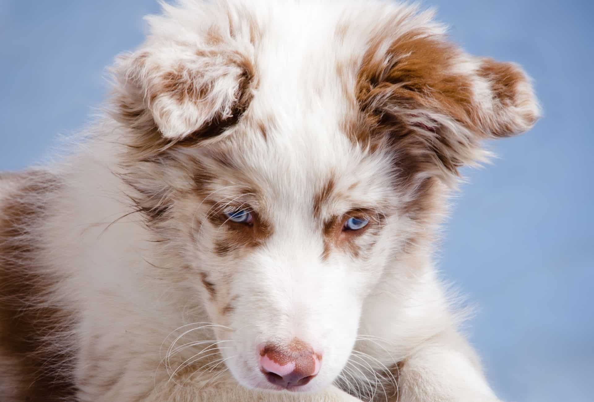 Red merle Border Collie puppy looking down.