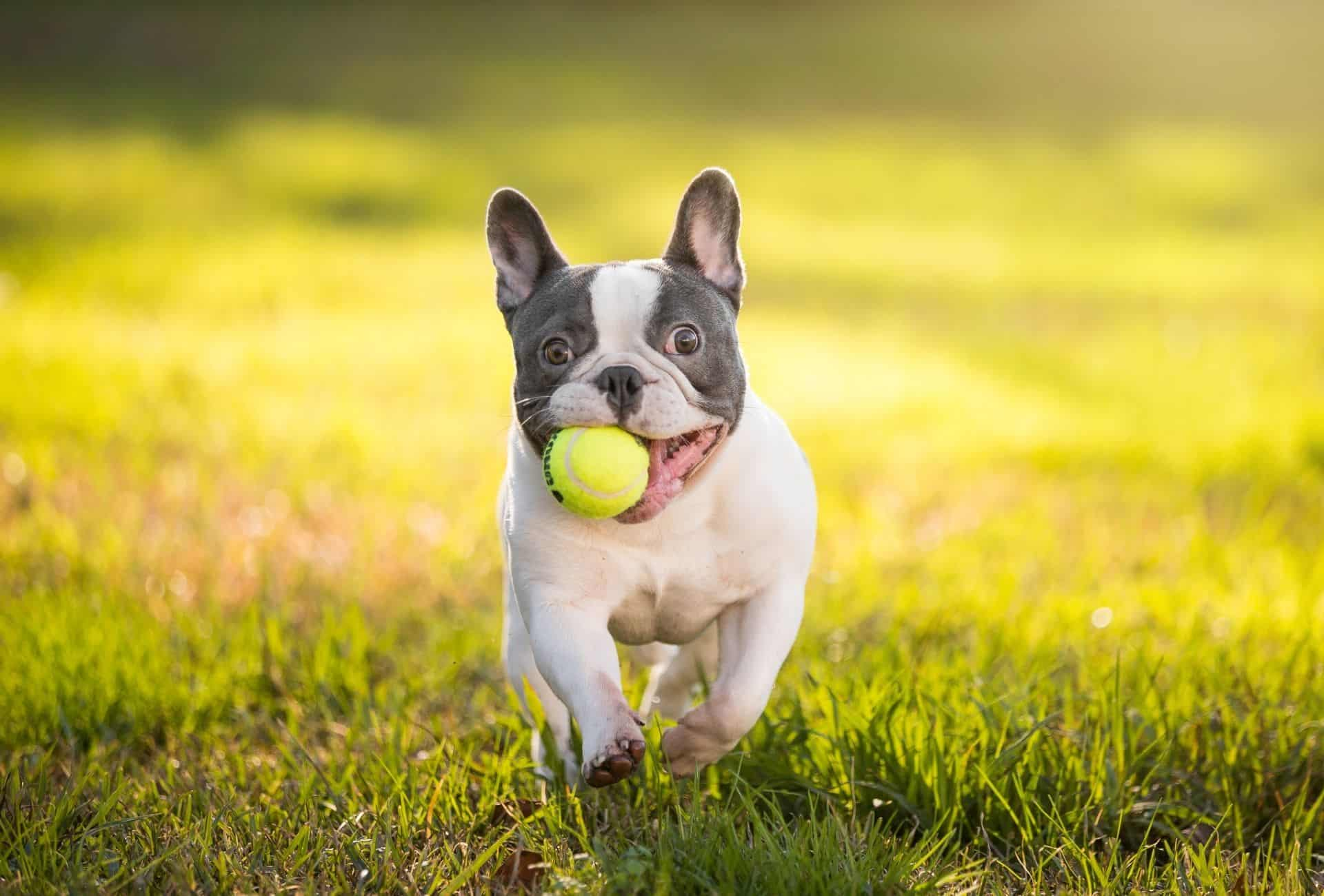 Healthy French Bulldog fetching a ball outside. Healthy Frenchies have no issue with running or cooling off due to the hips or flat nose.