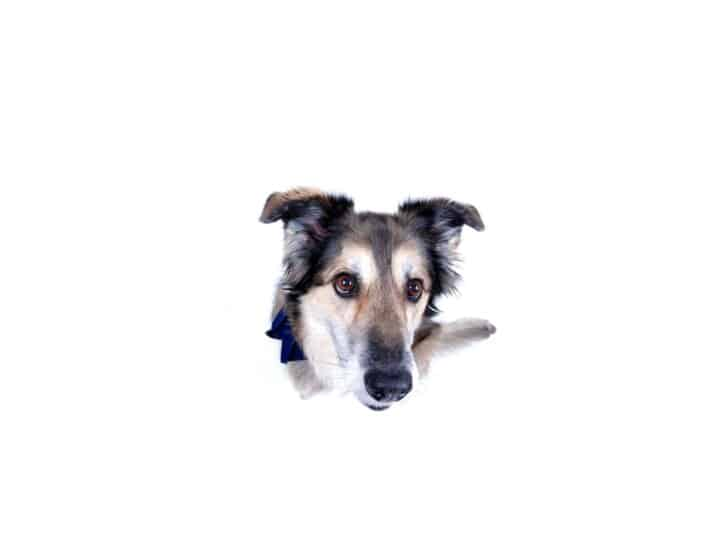 The Shollie is a mix between German Shepherd and Border Collie.