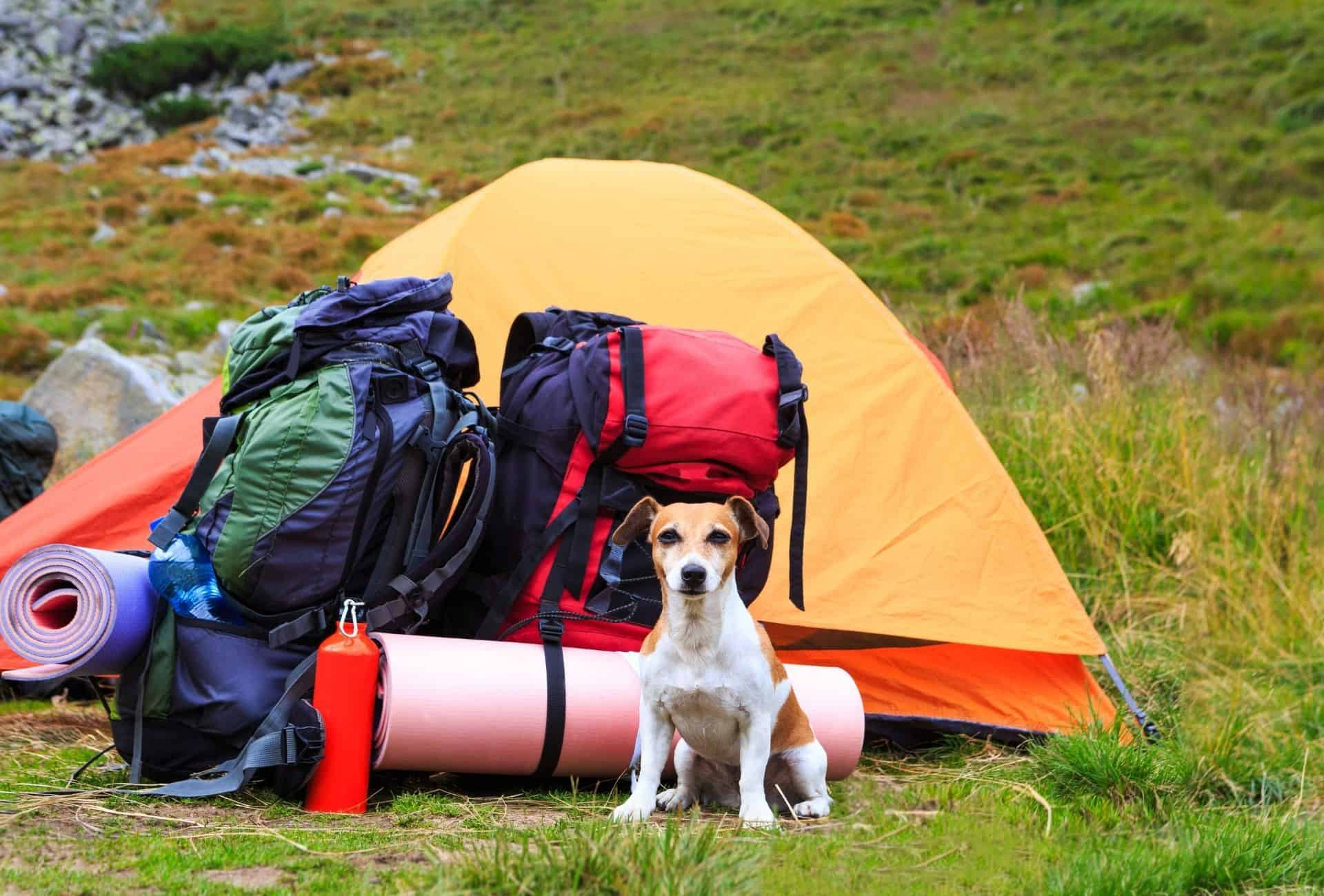 Small dog sits in front of tent with two heavy backpacks, looking ready to go.