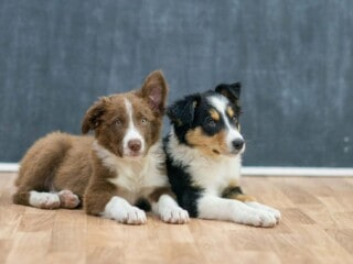 Two Border Collie puppies. One is red with white patches, the other puppy is tri-color.