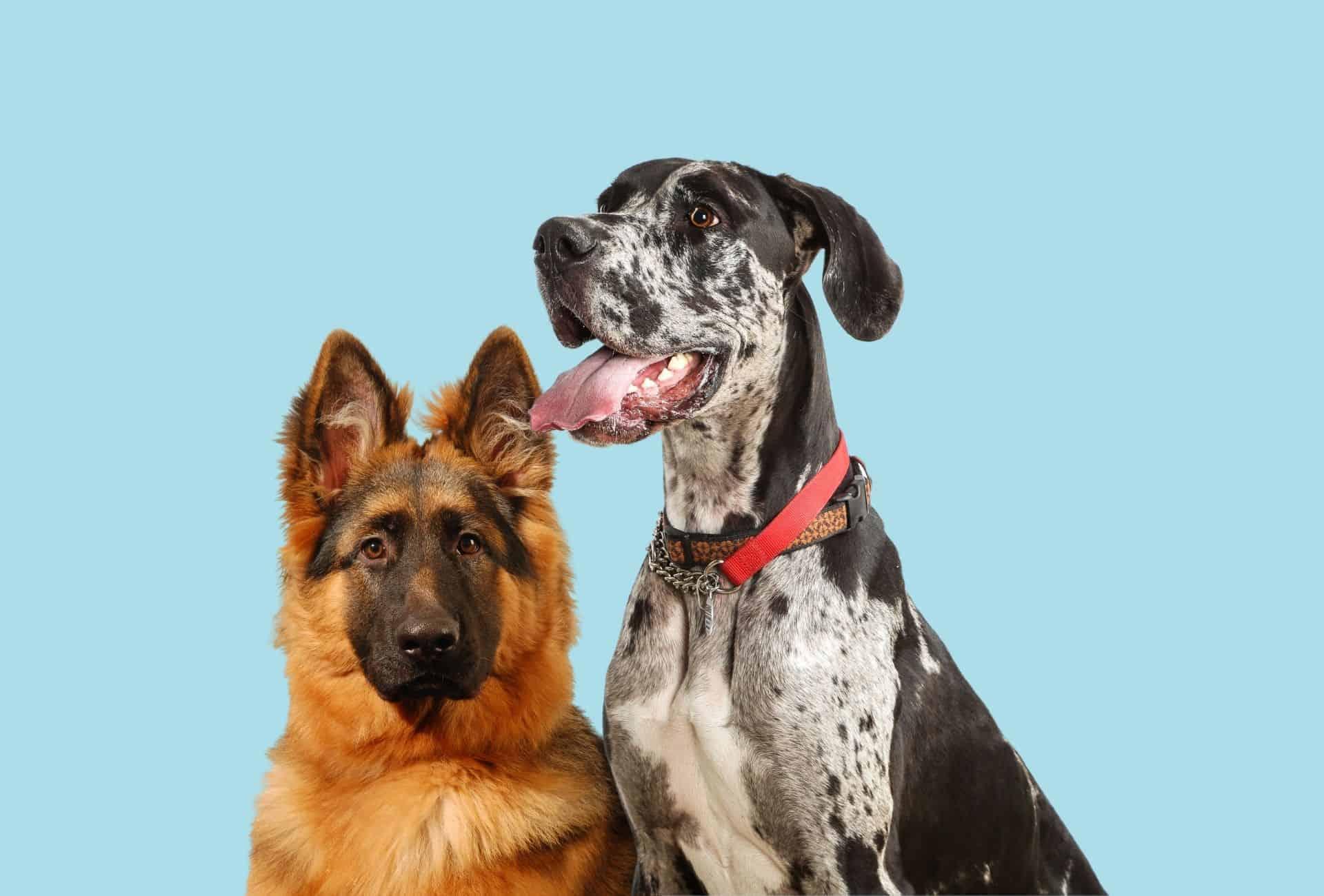 Great Dane and German Shepherd