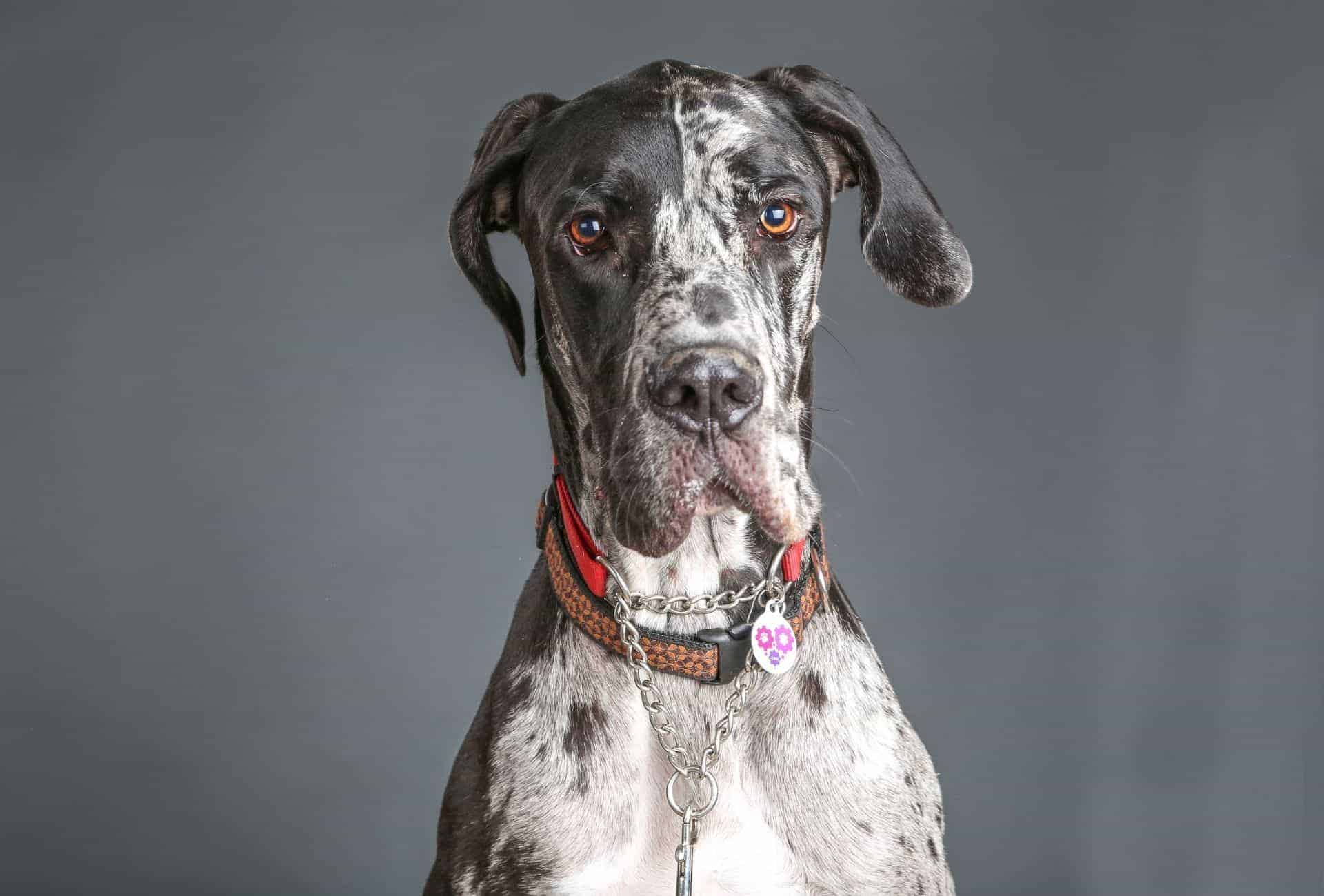 Great Dane mugshot with a collar and tag around his neck.