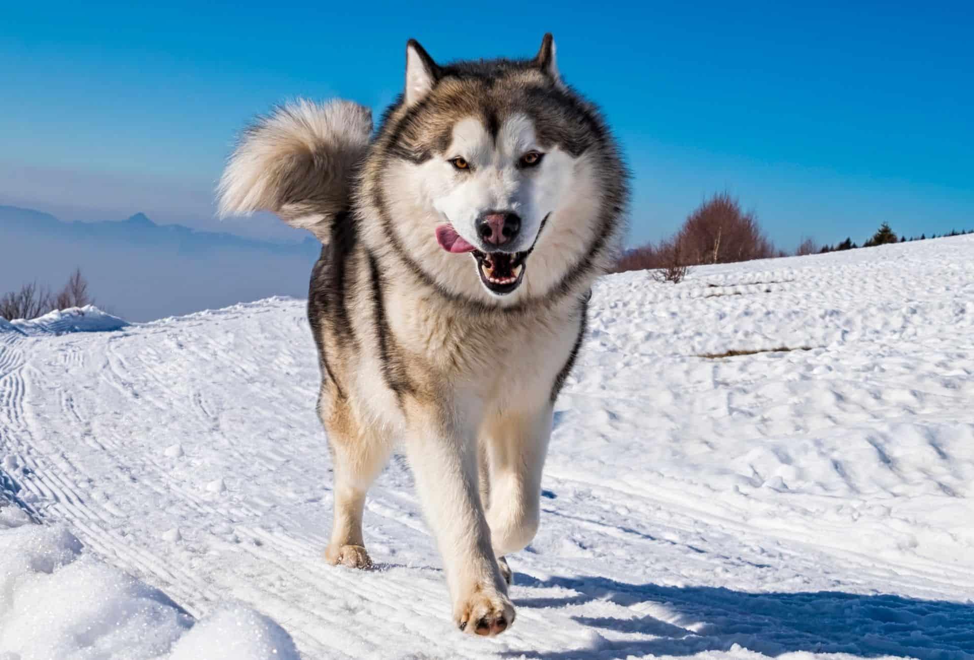 Alaskan Malamute in the snow pouncing like a fierce bear.
