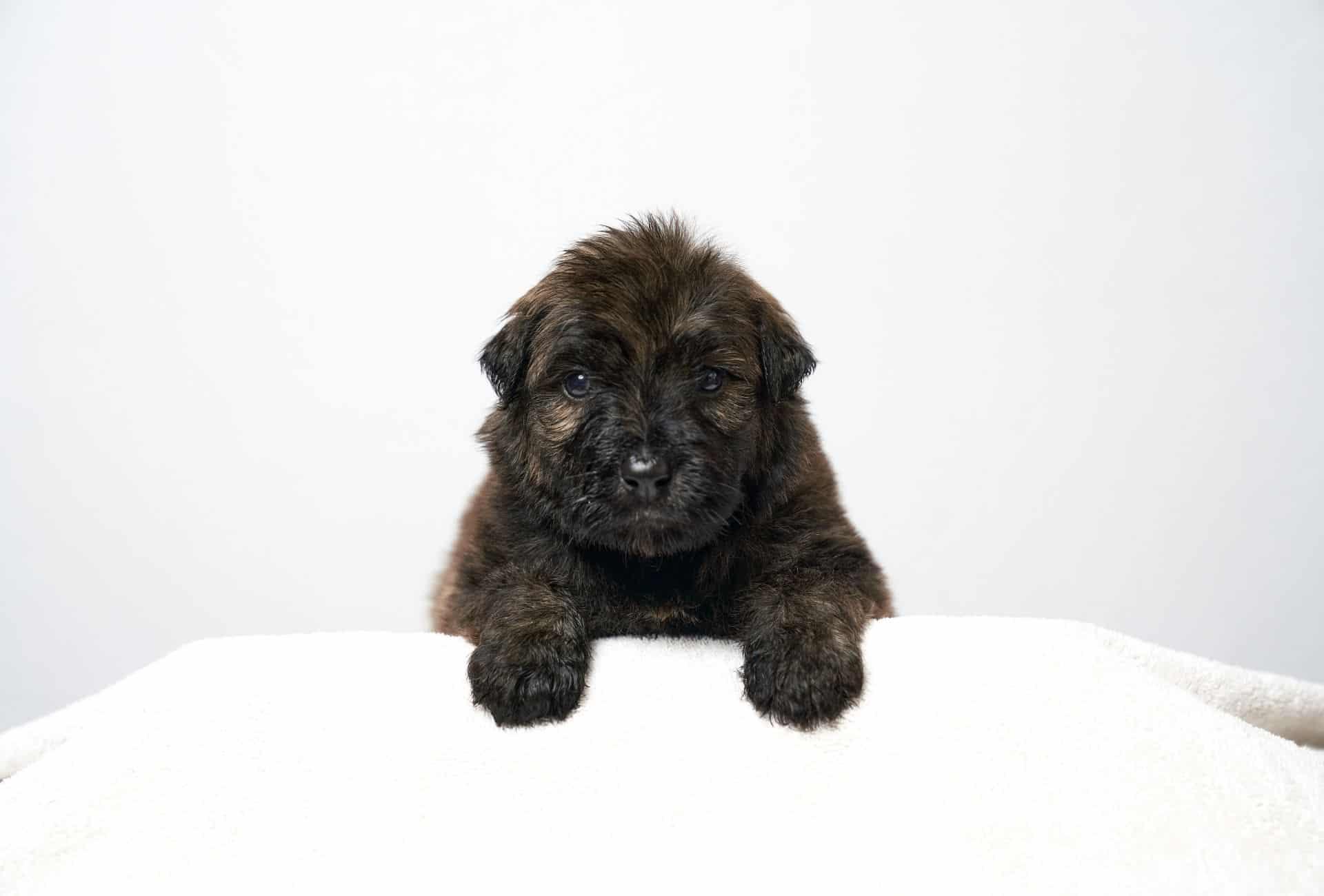 Bouvier des Flandres pup resembles a teddy bear.