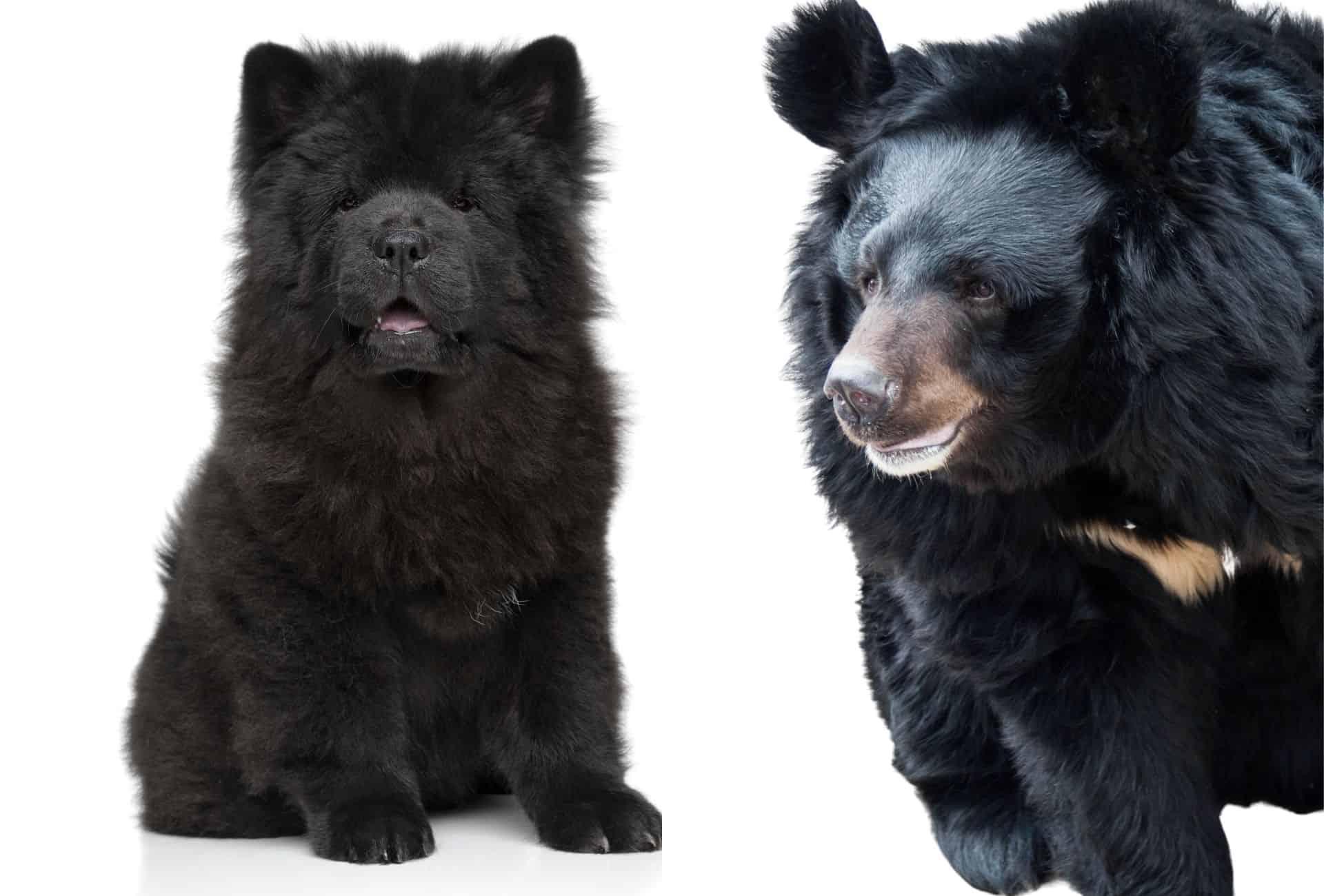 Black Chow Chow puppy next to a black Asian bear.