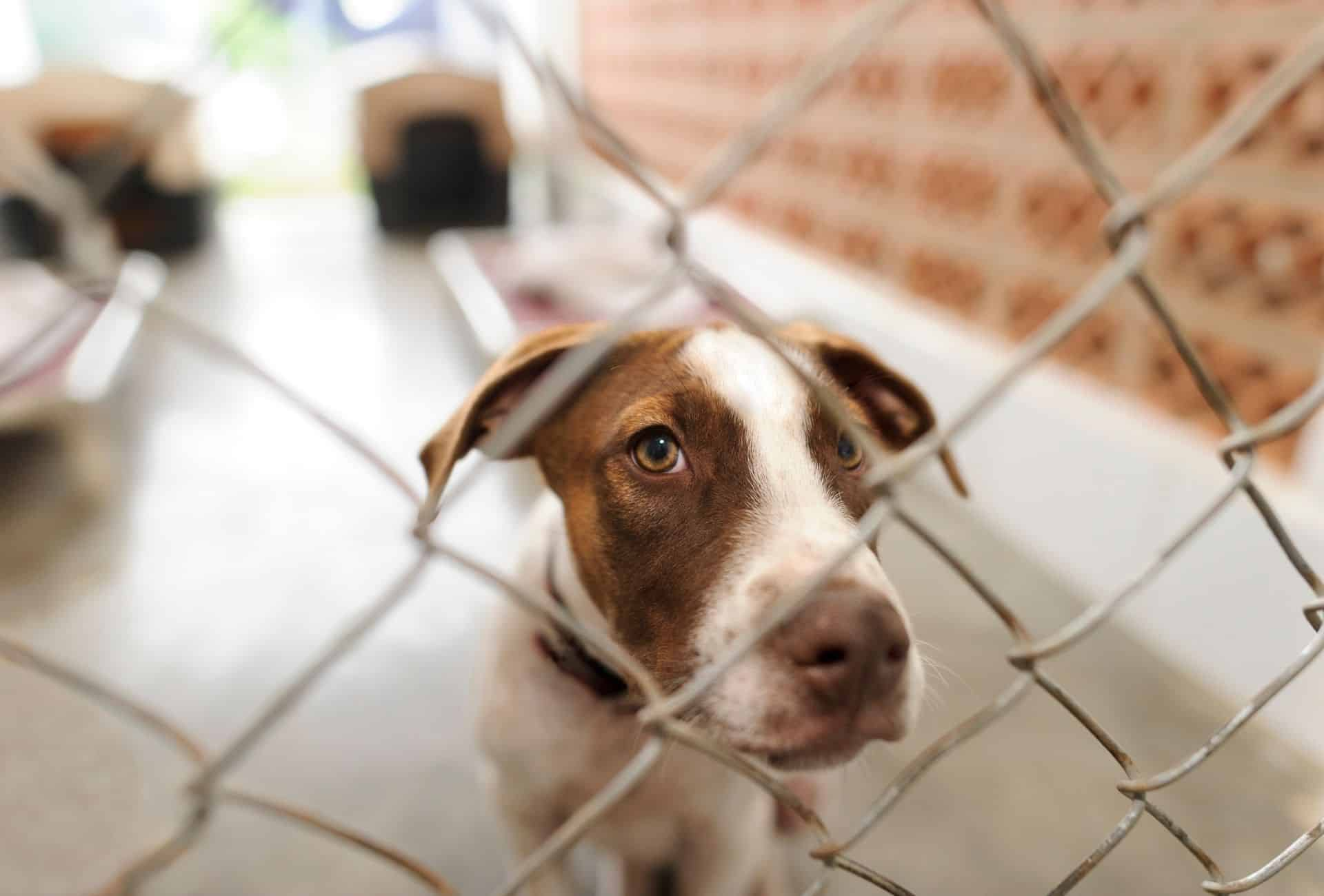 Dog inside his kennel inside the shelter with a sad look in his eyes.