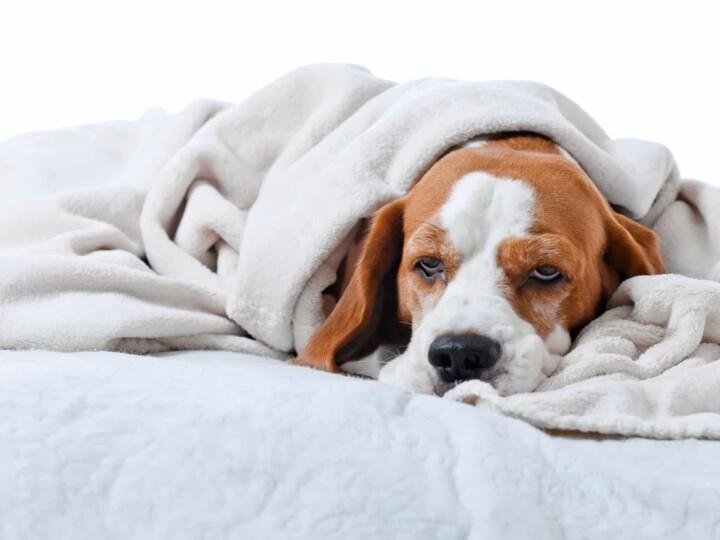 Dog is not feeling well.