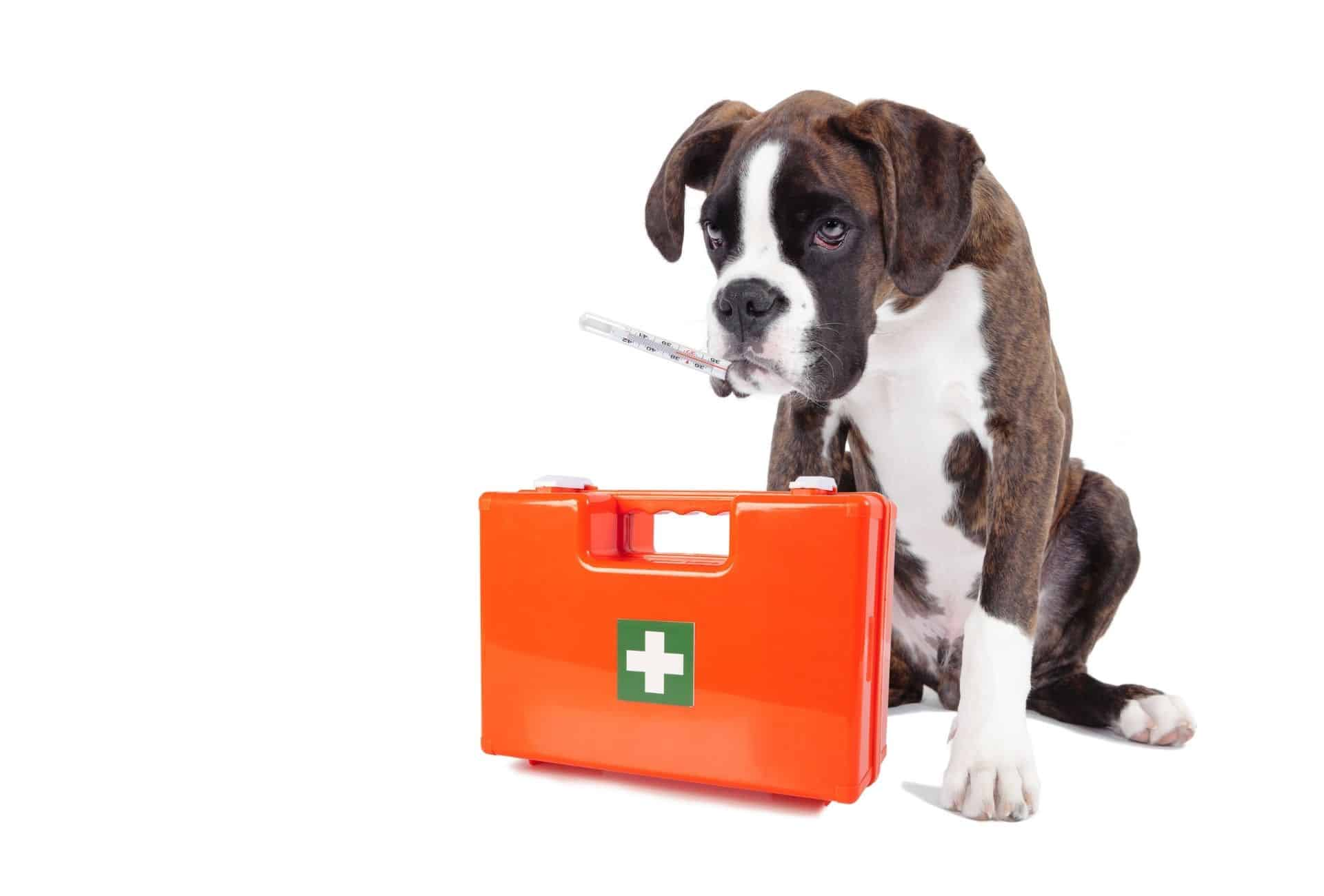 Boxer dog has a veterinary aid kit standing in front of her with a thermometer in mouth. Meaning dogs can need veterinary attention even though they act normal.
