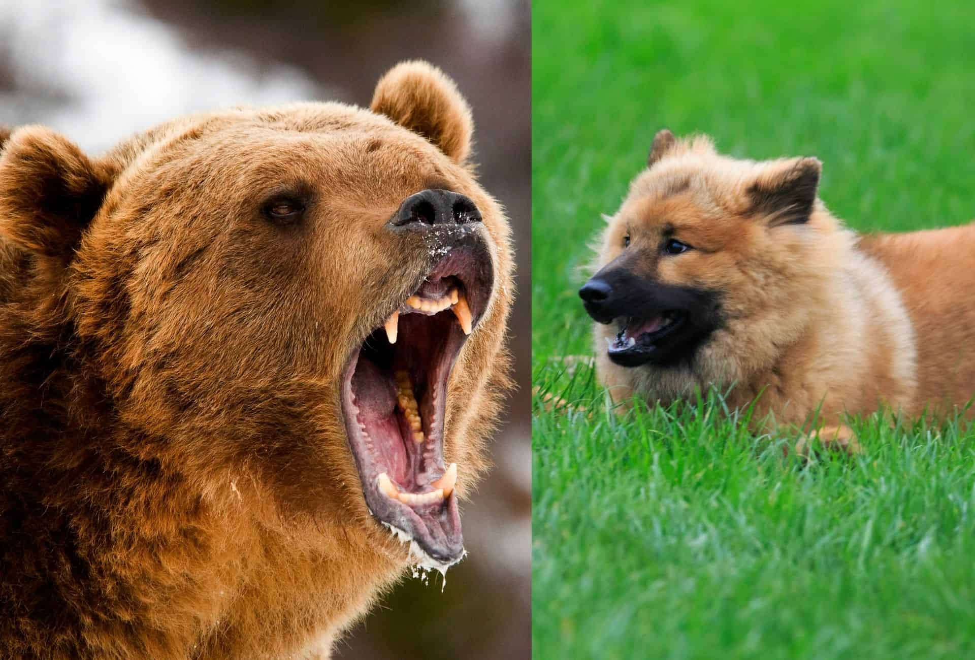 Menacing Grizzly bear next to a fierce-looking Eurasier waiting in the grass.
