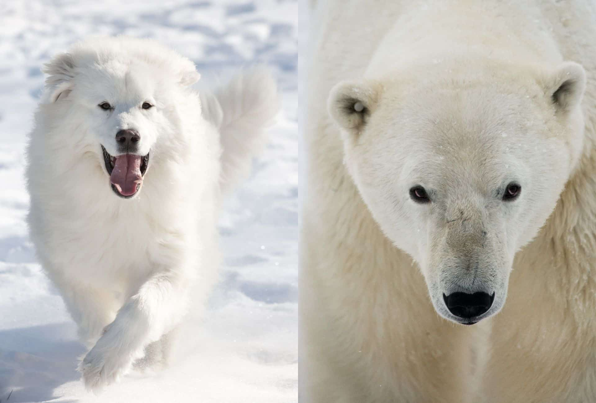 Great Pyrenees running in snow in comparison to the head of a Polar bear with the long snout and white coat.