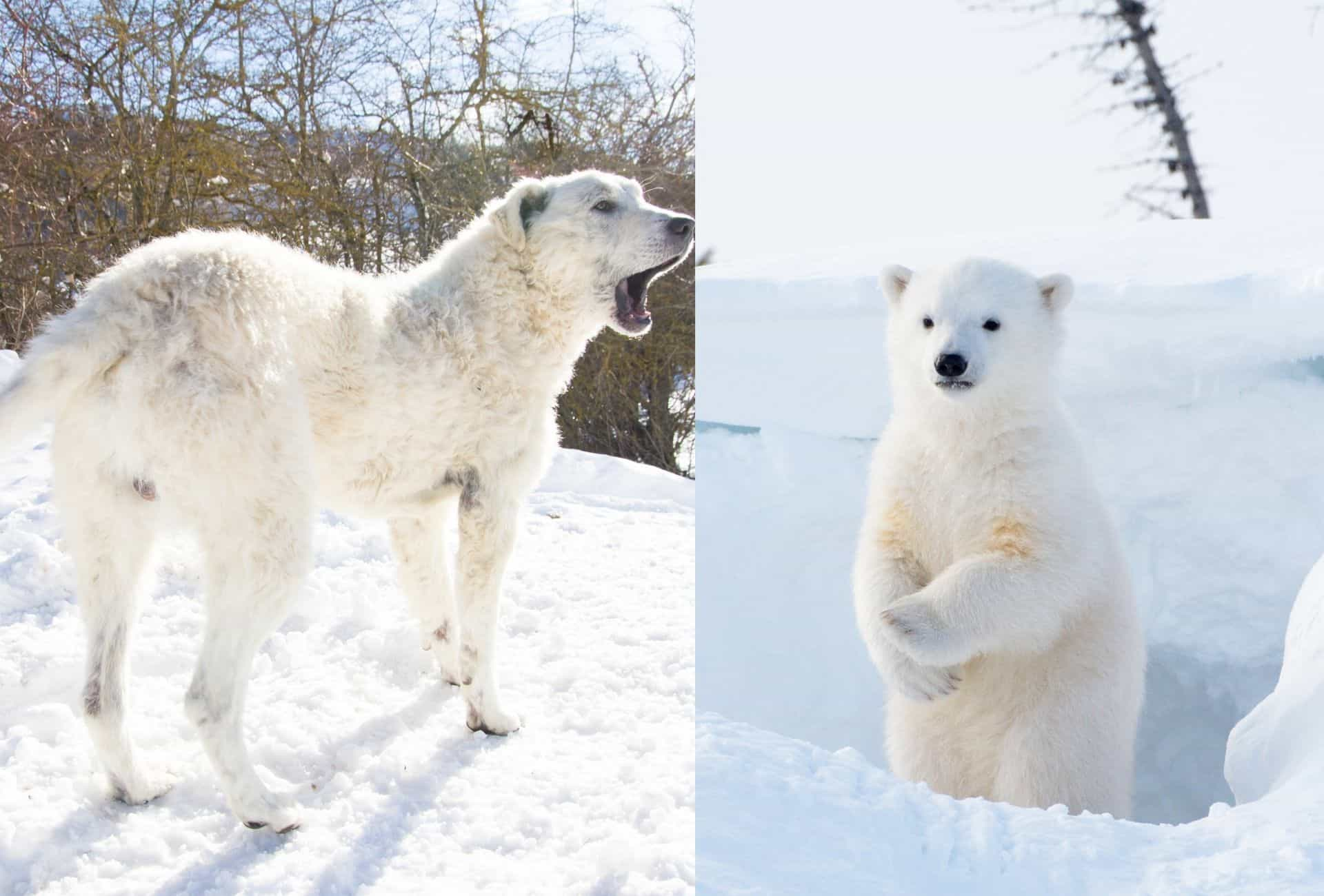 Short-coated Maremma Sheepdog in the snow featured next to a bear cub standing up.