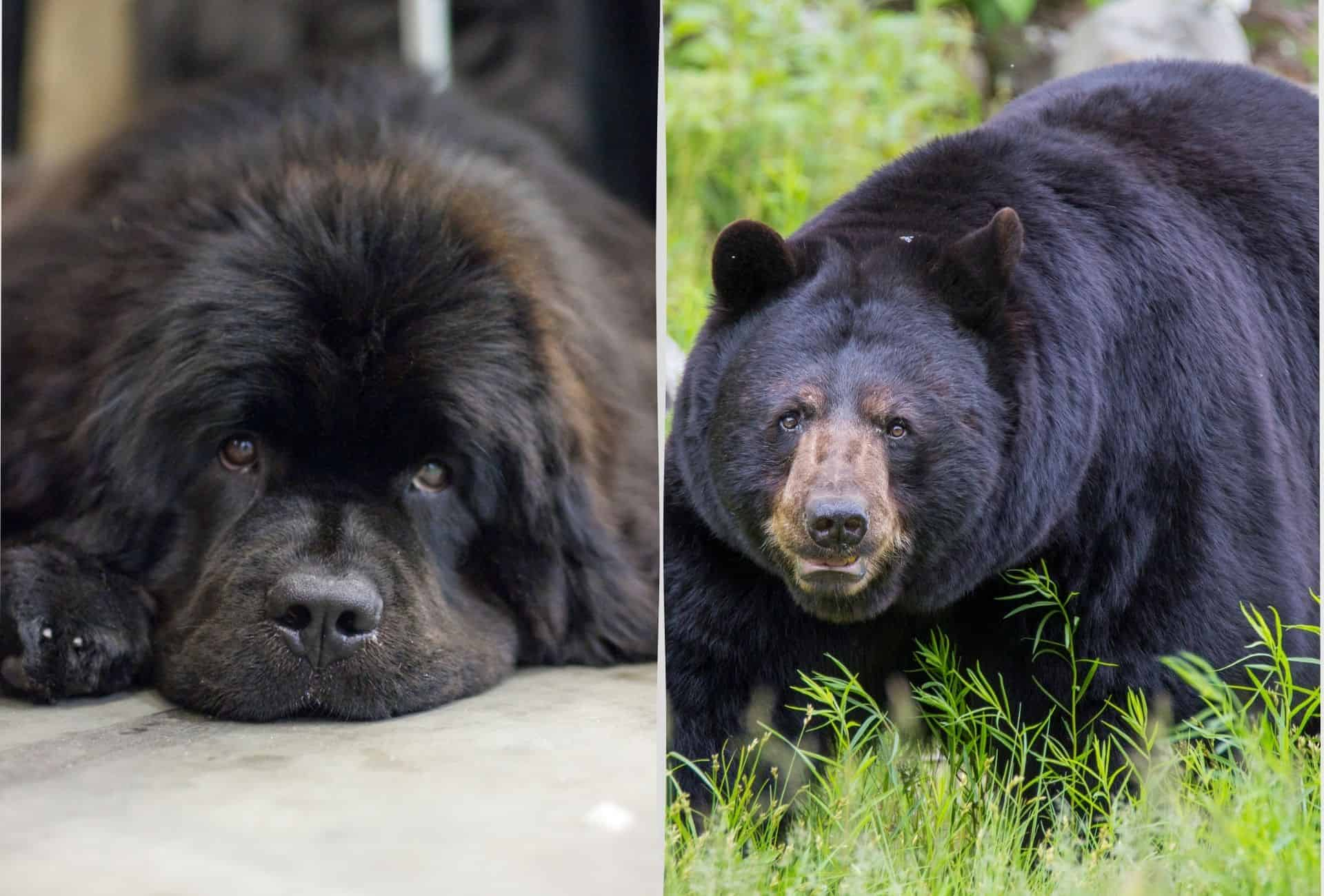 Newfoundland dog featured next to a large black bear with a similar head shape and coat.
