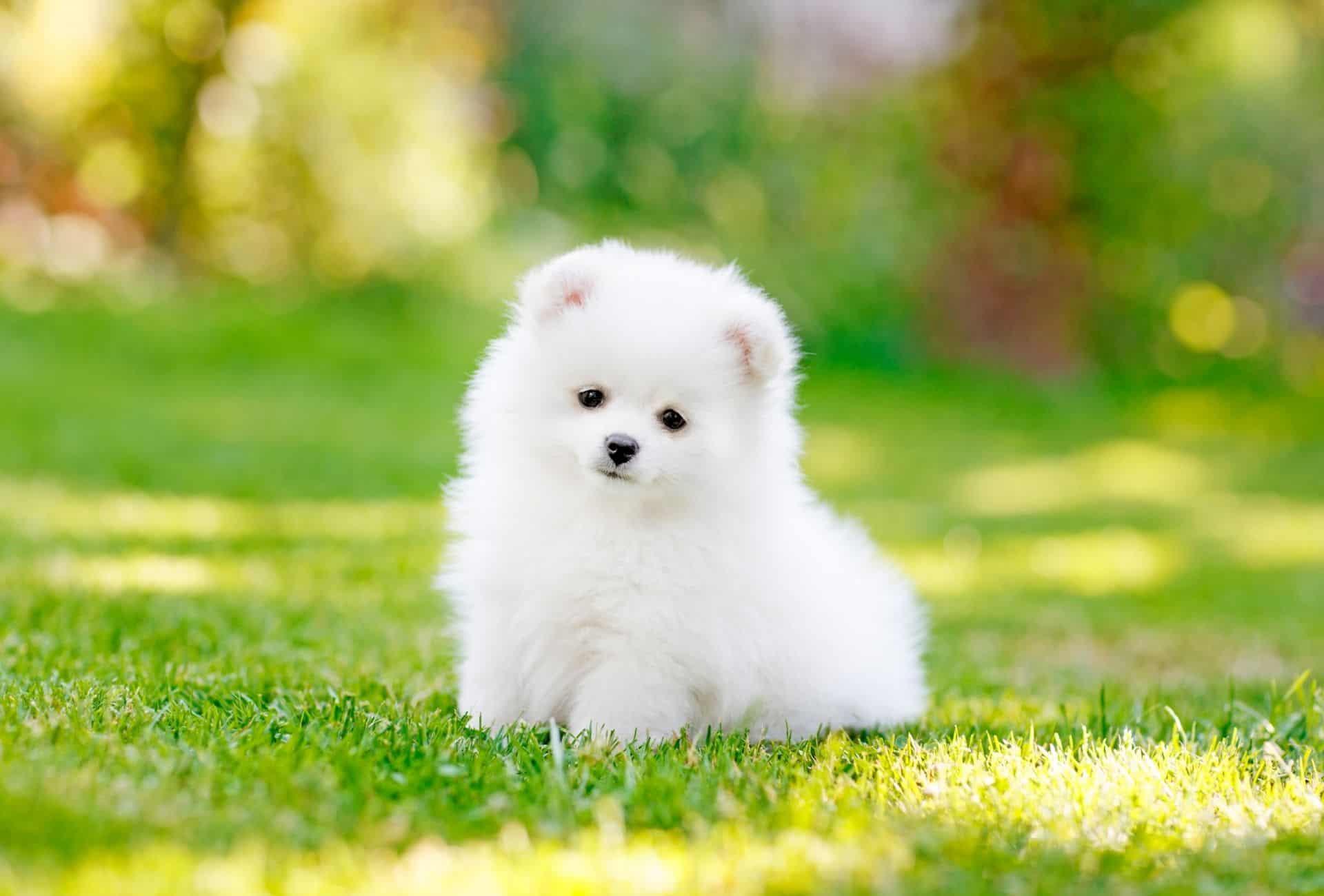 Pomeranian looking like a very small Polar bear.