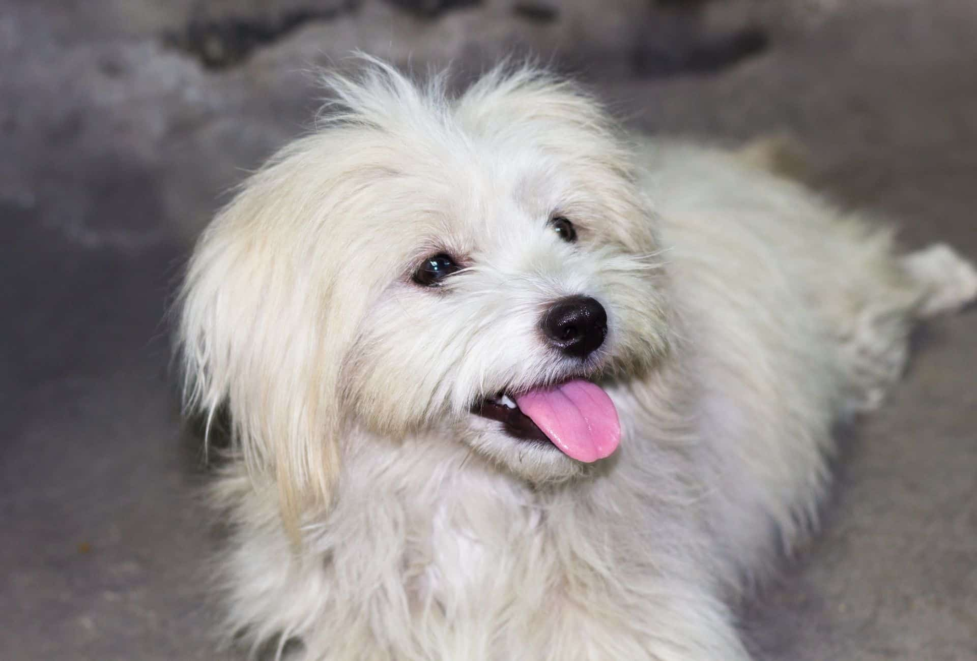 All-white Poodle Shih Tzu mix with the typical long Shih Tzu hair around the ears.