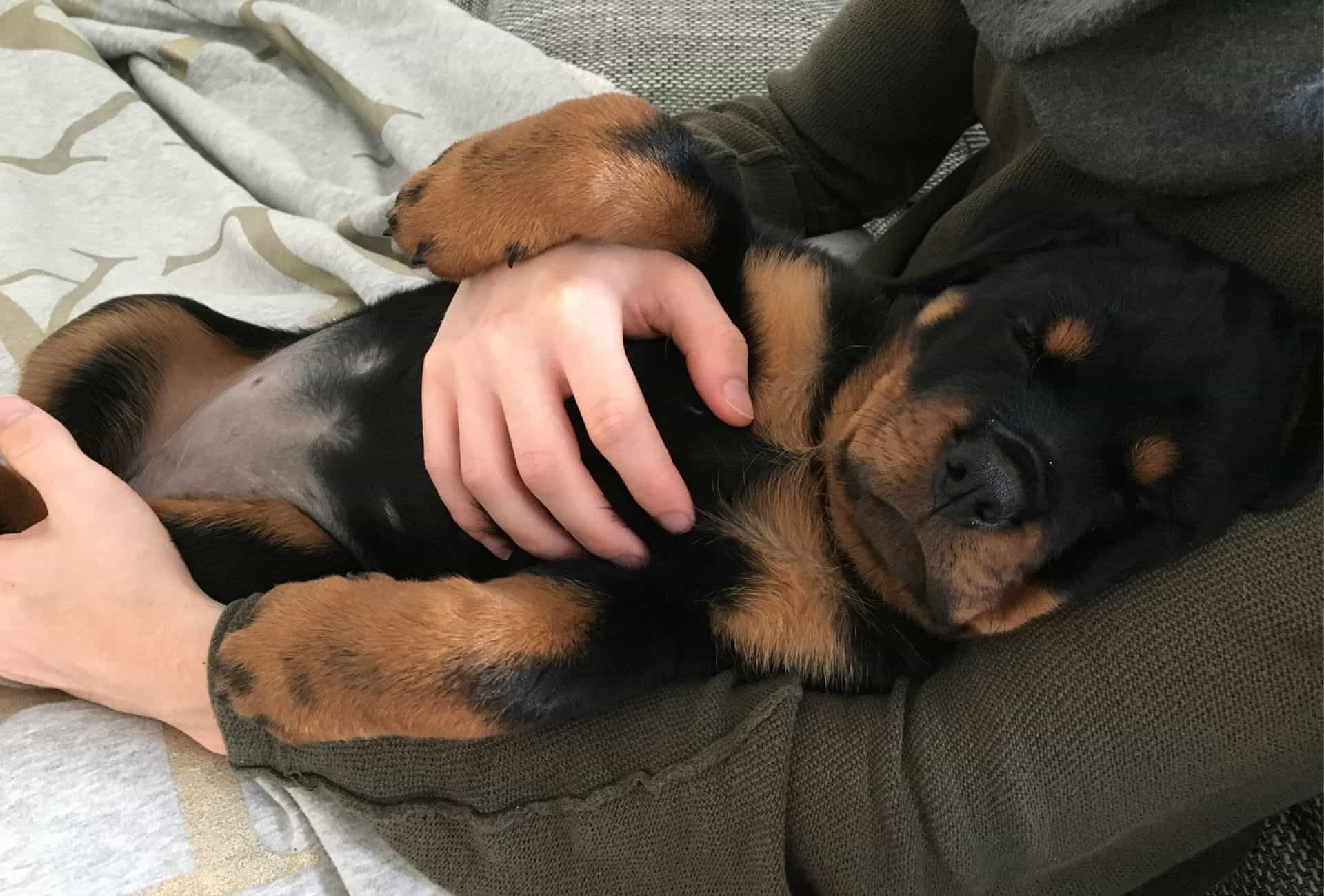 Picture of my Rottweiler puppy sleeping on her back after she's been on a walk and exercised properly.
