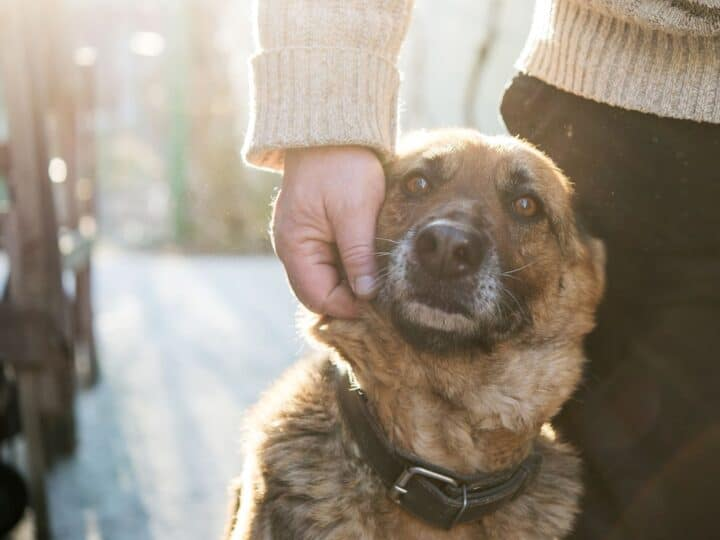 Senior rescue dog sits close to his new owner.