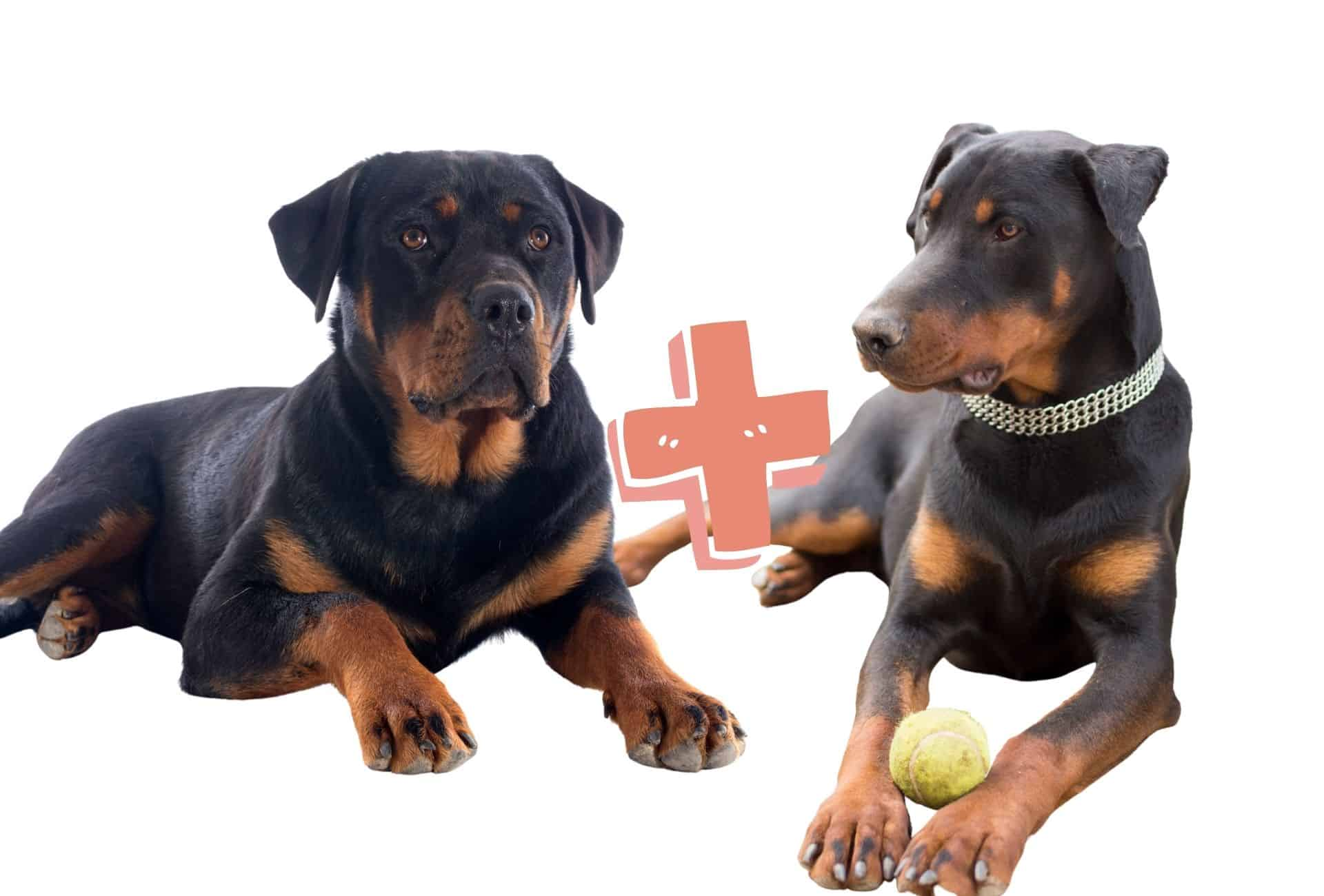Rottweiler on the left plus a Doberman on the right equals the Rotterman.
