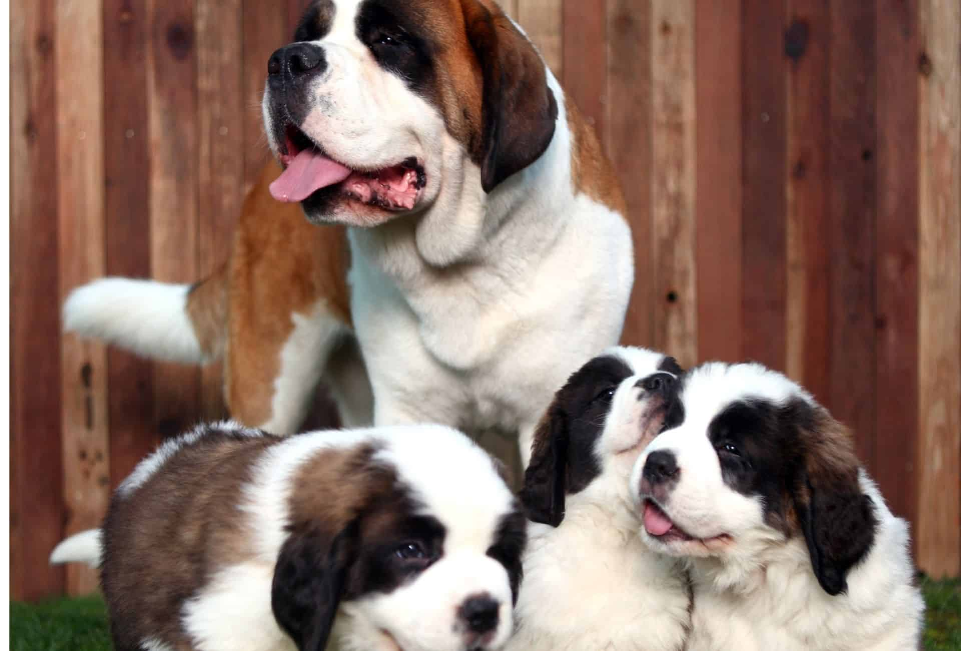Saint Bernard with thick bones, tail, and a big head with three puppies, all looking like cuddly teddy bears.