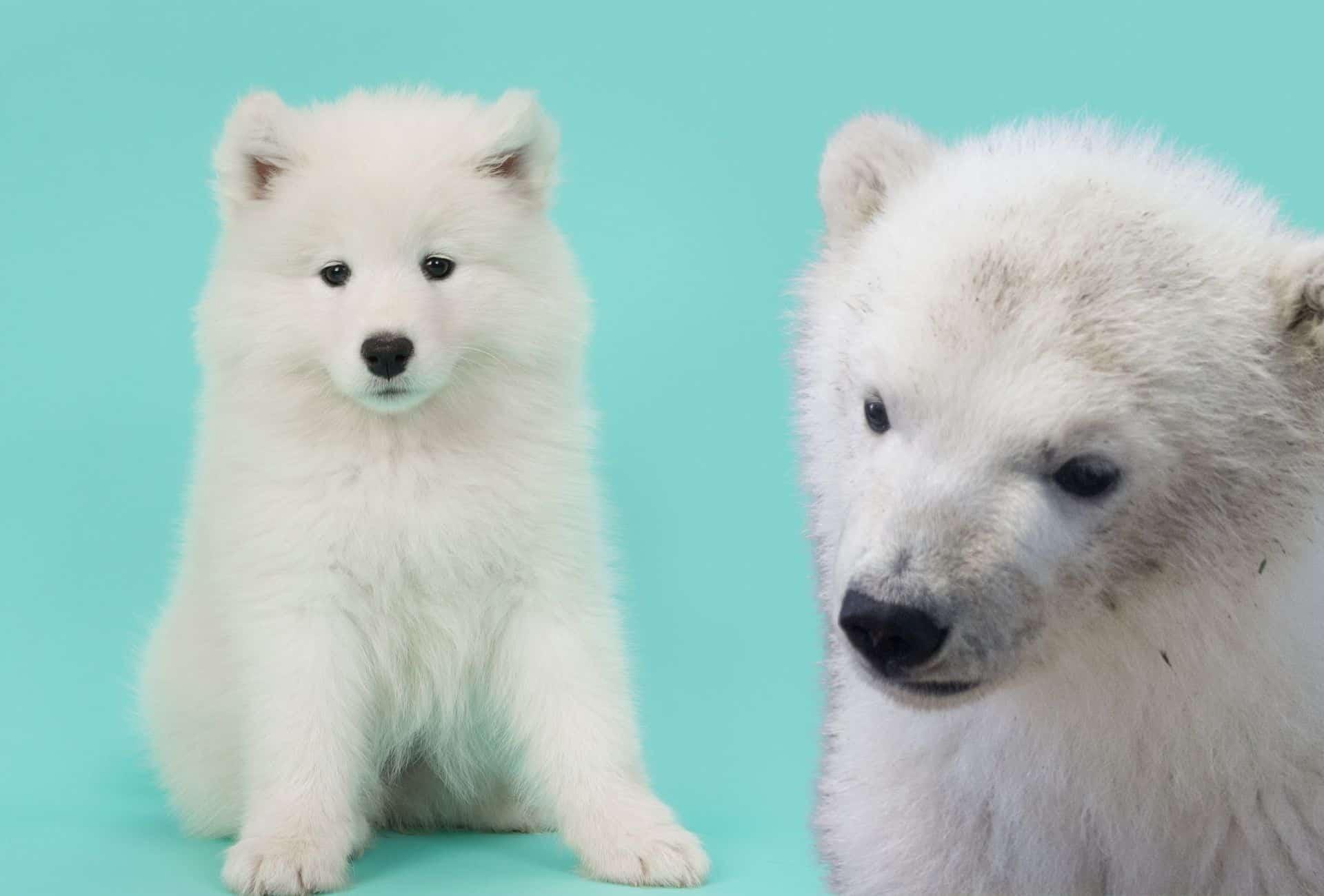 Samoyed with similar coat and ears like a Polar bear cub.