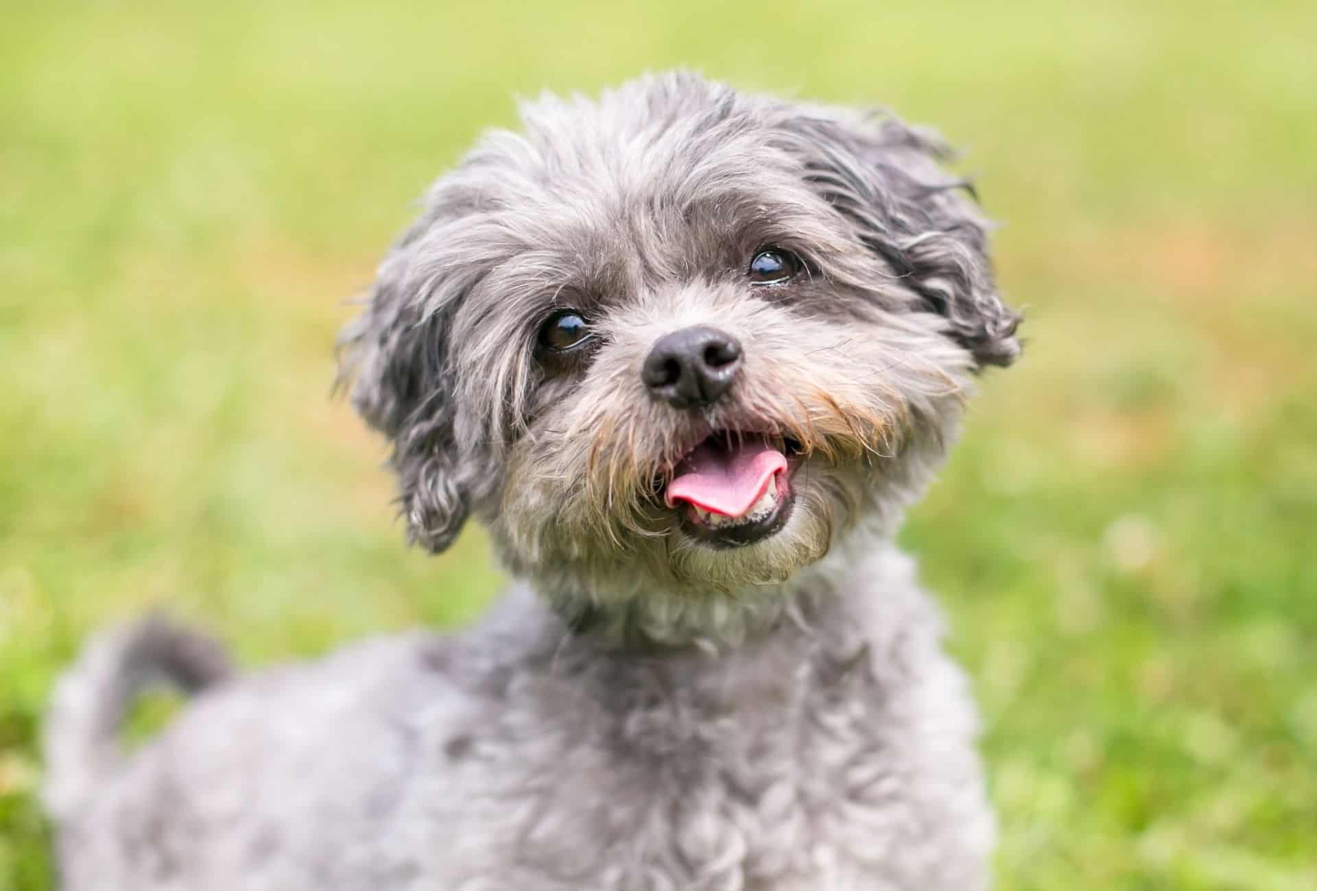 Shih Tzu Poodle mix with gray curly hair, a black nose and brown around the mouth.