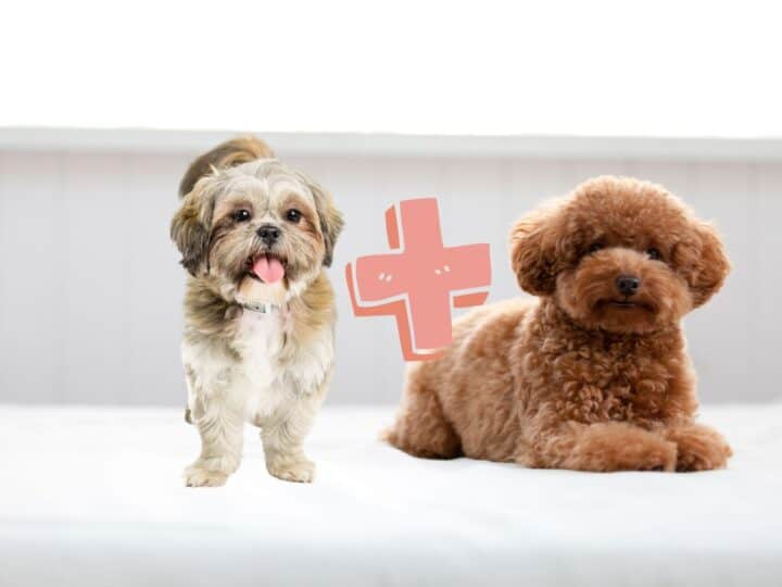 Shih Tzu stands next to a small Poodle with brown curly hair.