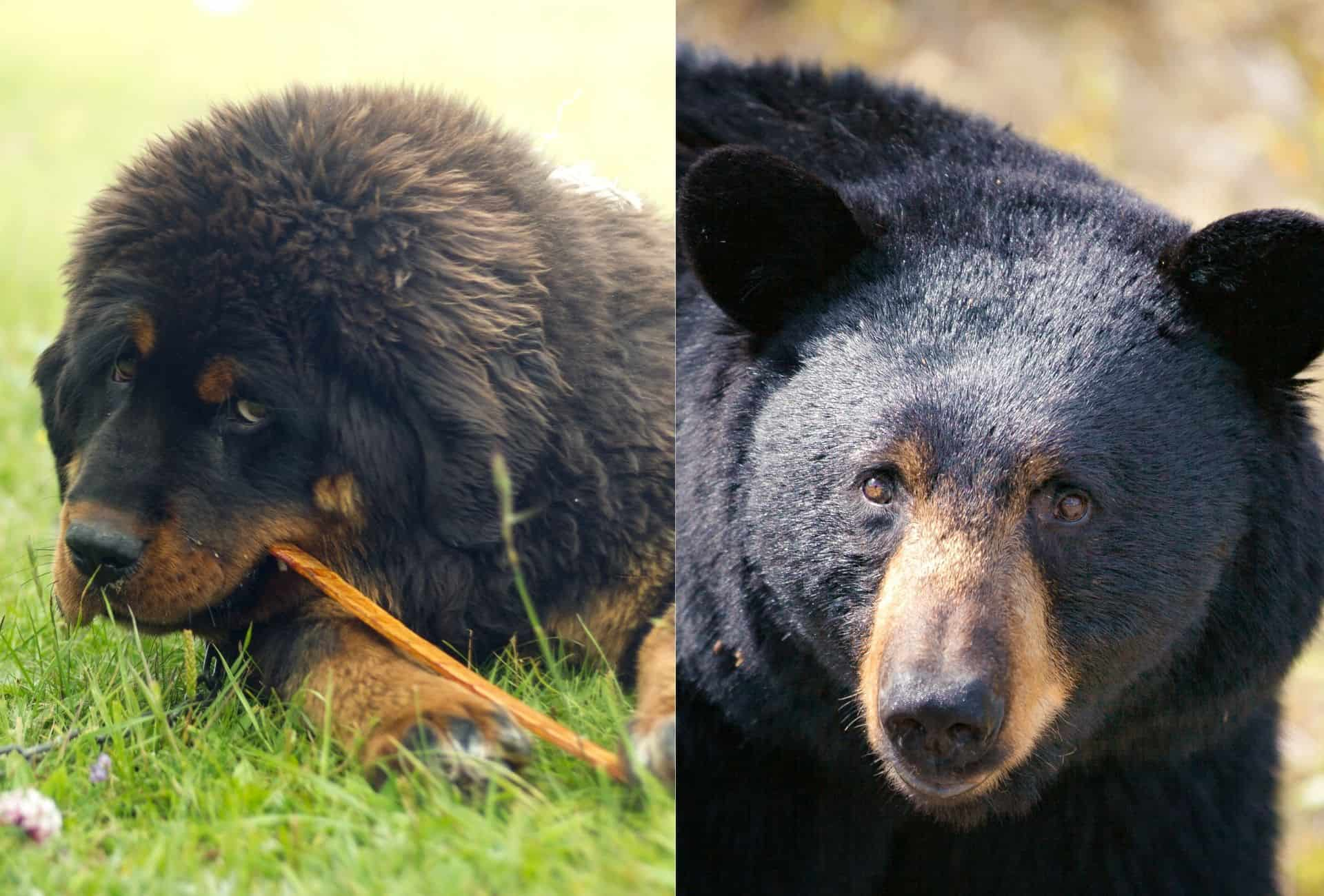 Tibetan Mastiff chewing on a stick on the left side compared to a similar-looking black bear on the right side.