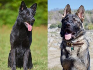 A black German Shepherd that resembles the blue bay Shepherd and a working line German Shepherd together create the Lycan Shepherd.