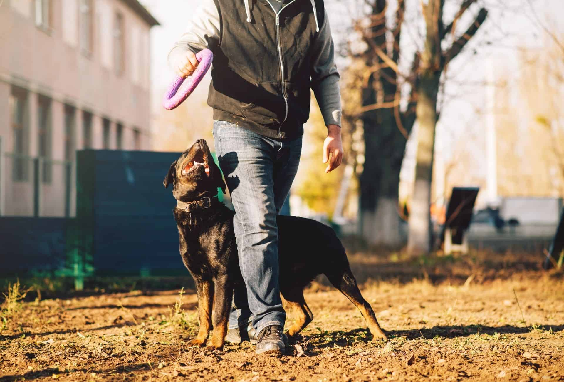 Rottweiler with dog trainer.