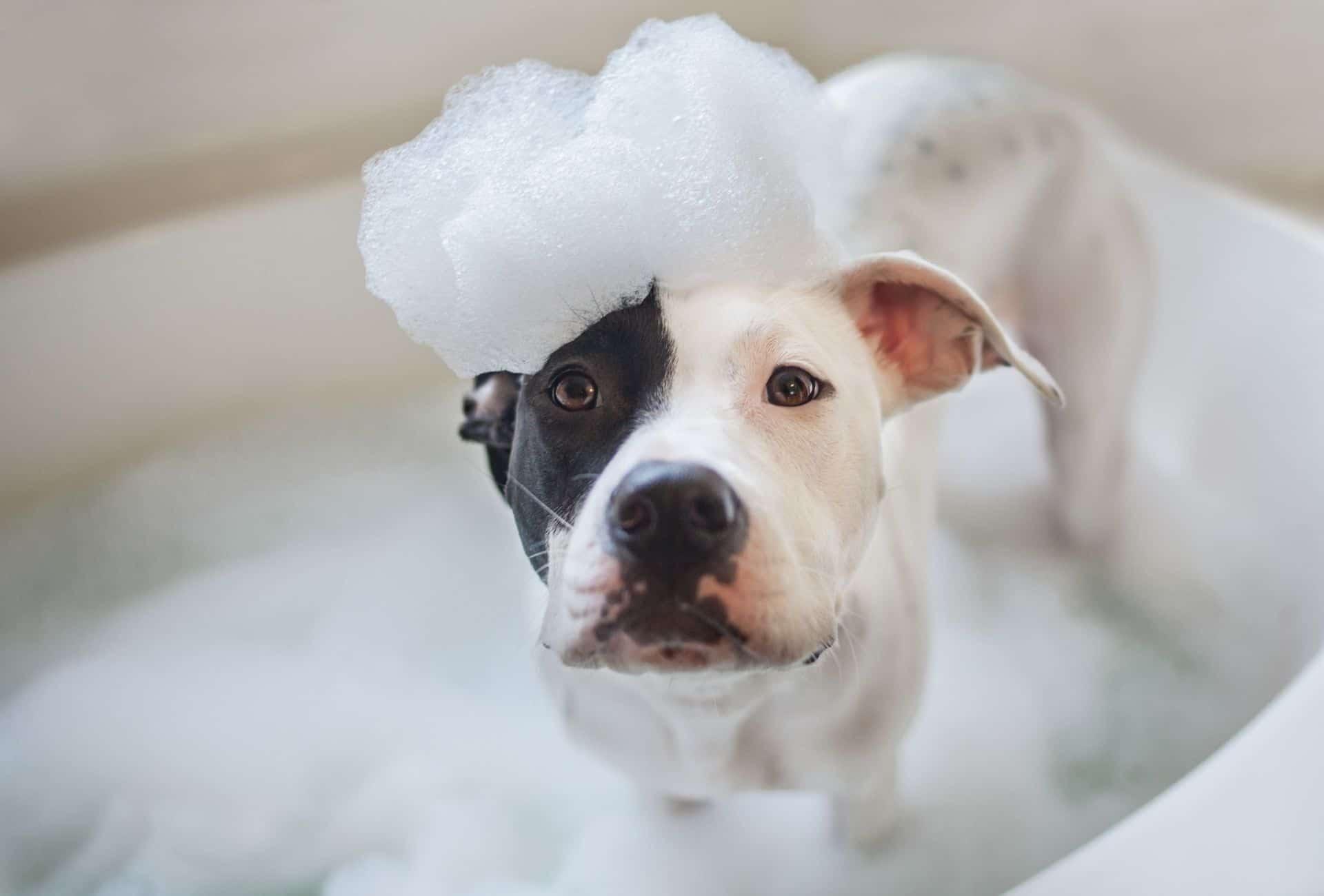 Pitbull taking a bath.