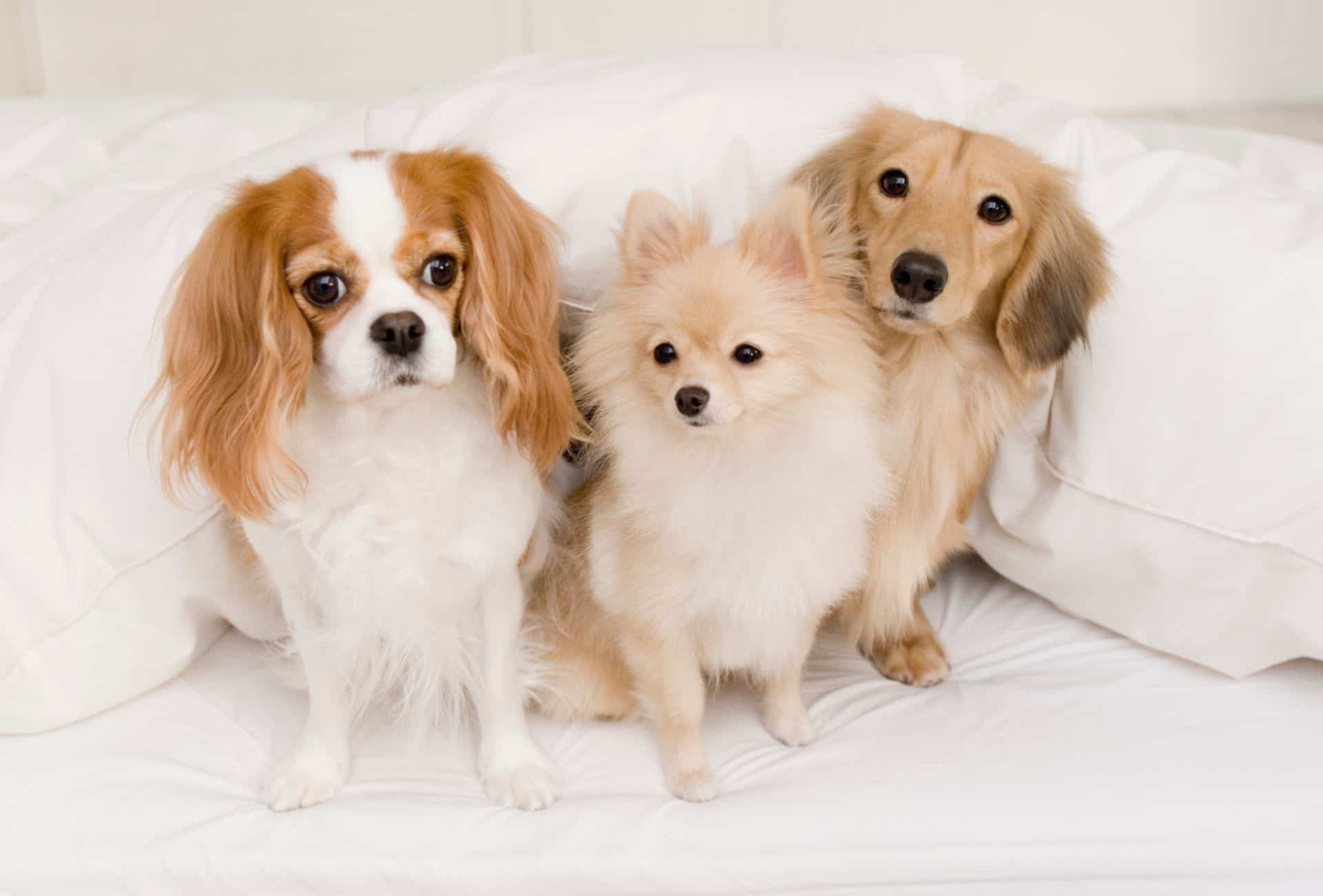 Three small dogs on the bed.
