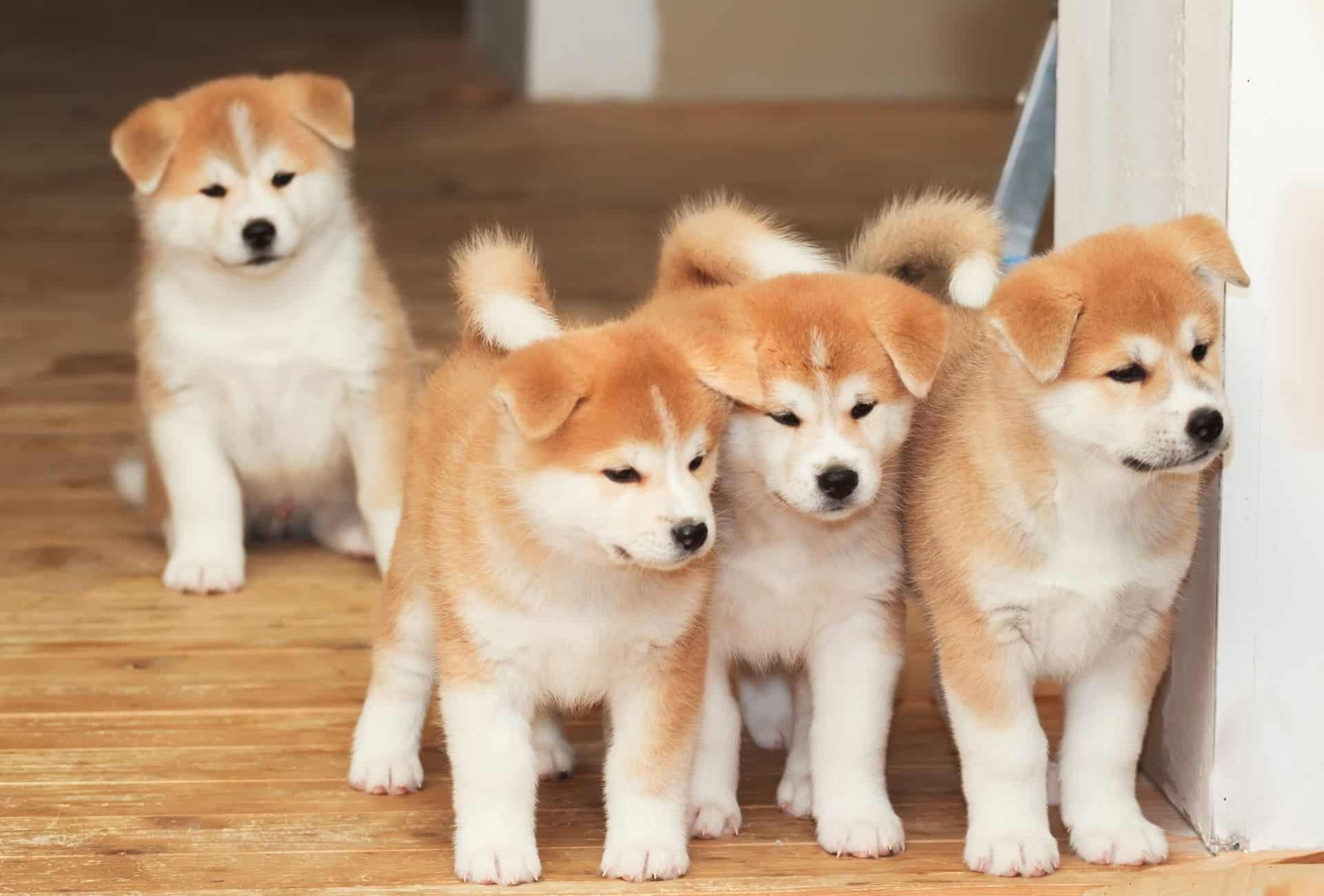 Four Akita puppies looking incredibly cute on the doorstep but they grow up to be good guardians for new owners.