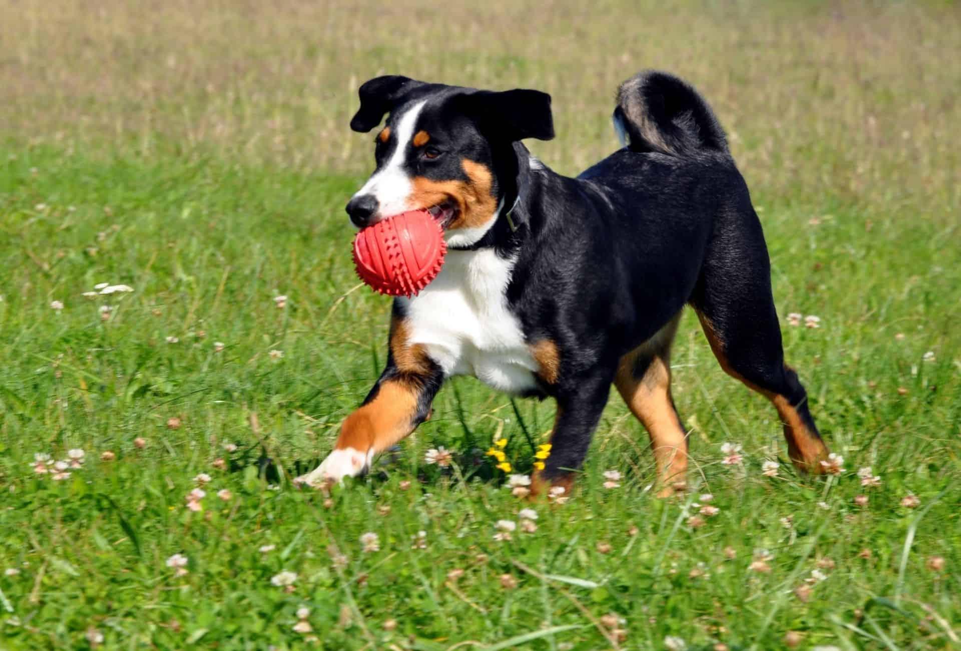Appenzeller Sennenhund retrieving ball.