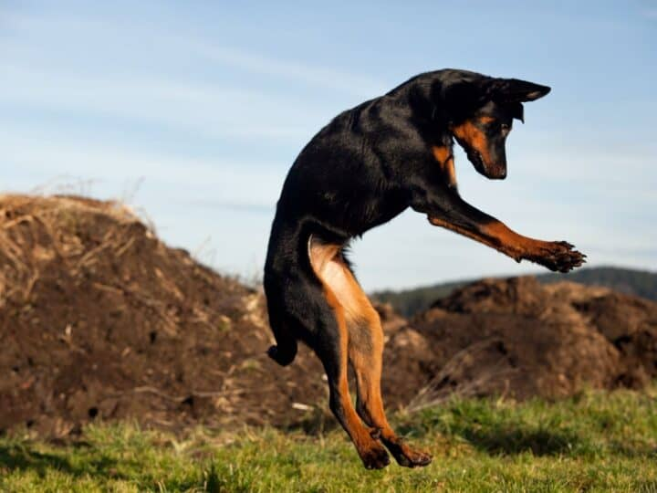 Beauceron jumping high in the air which is what can happen when males smell a female in heat.