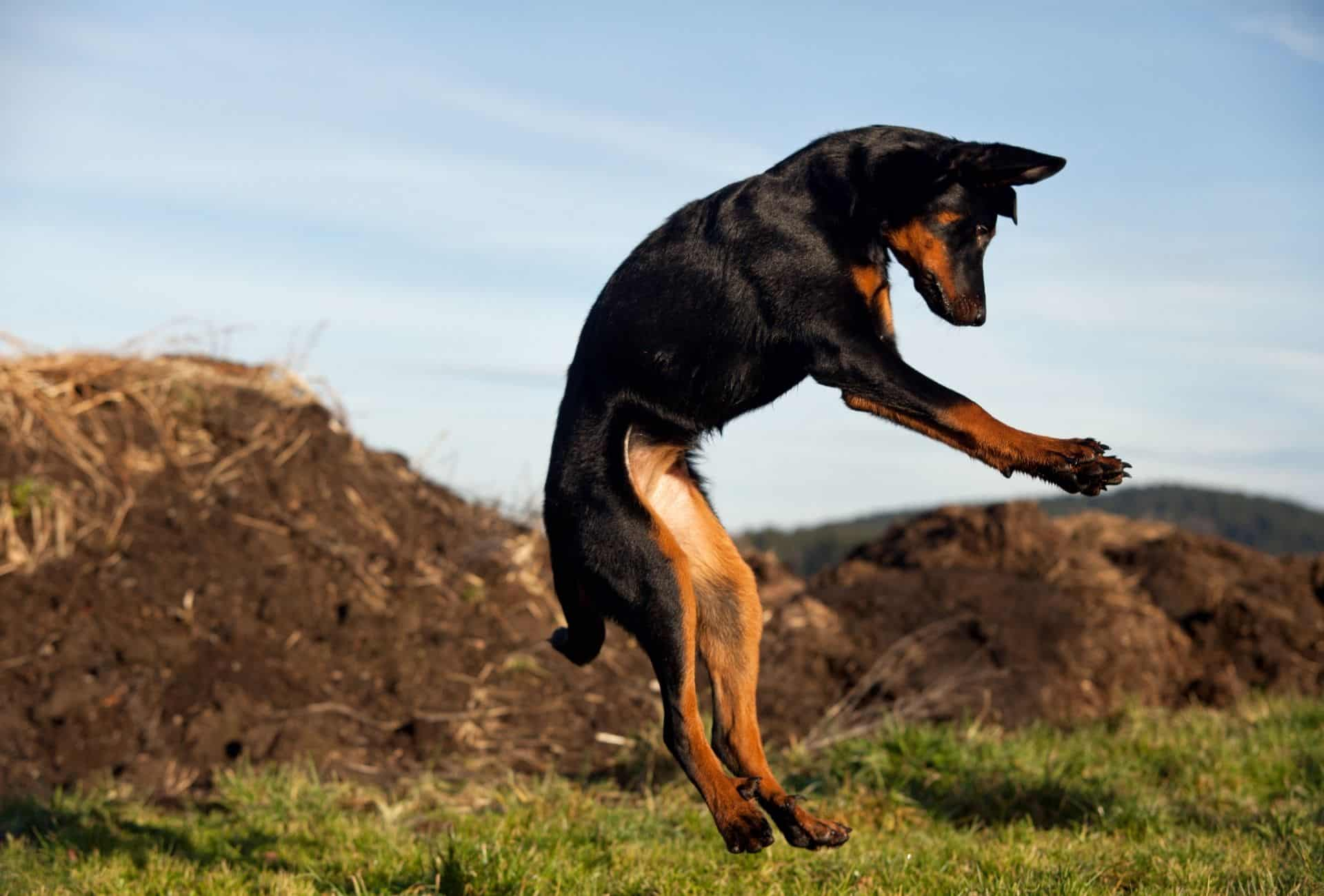 Beauceron mid-air during a jump outdoors.