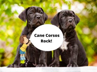 Child has a bubble stating that Cane Corsos rock with two Corso puppies in the background.