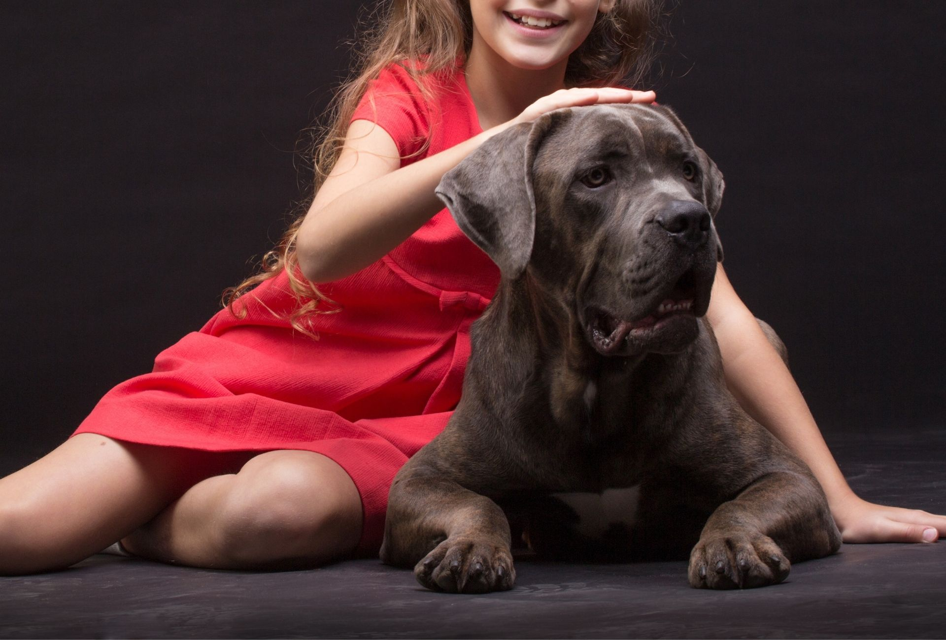 Large gray Cane Corso is petted by a little girl in a red dress.