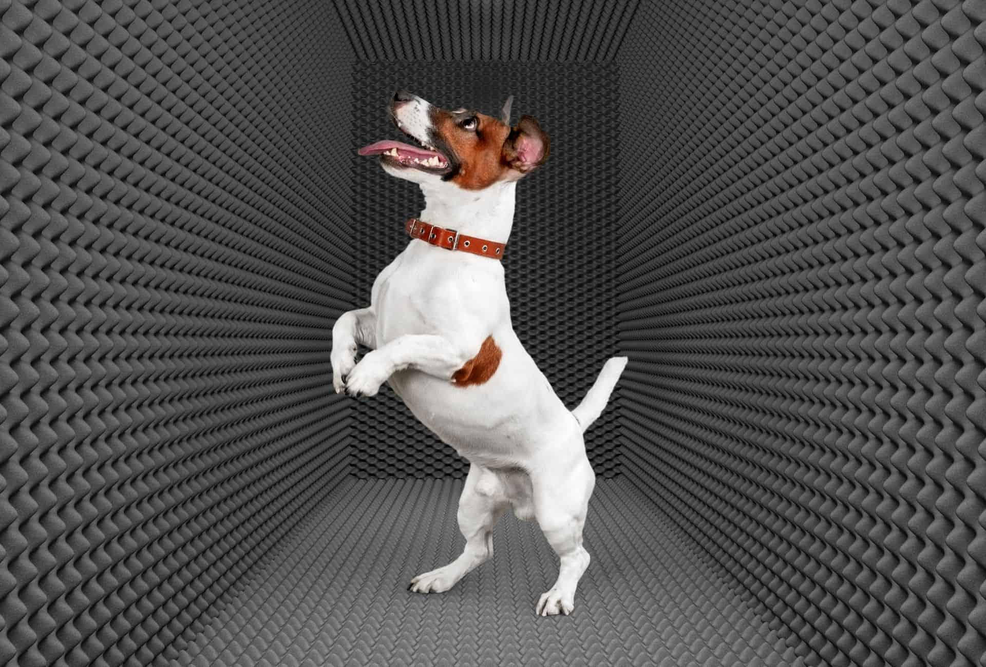 Jack Russell Terrier in a roo with soundproof walls all around.
