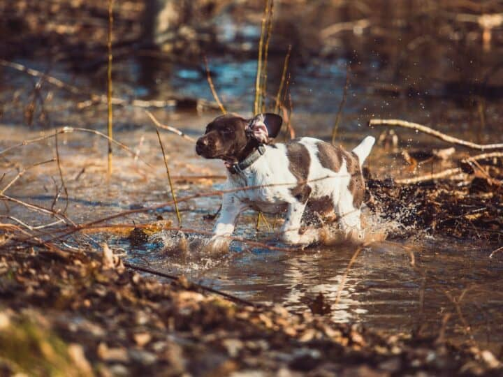 German Shorthaired Pointer puppy exploring off-leash, showing age-appropriate exercise to maintain proper growth.