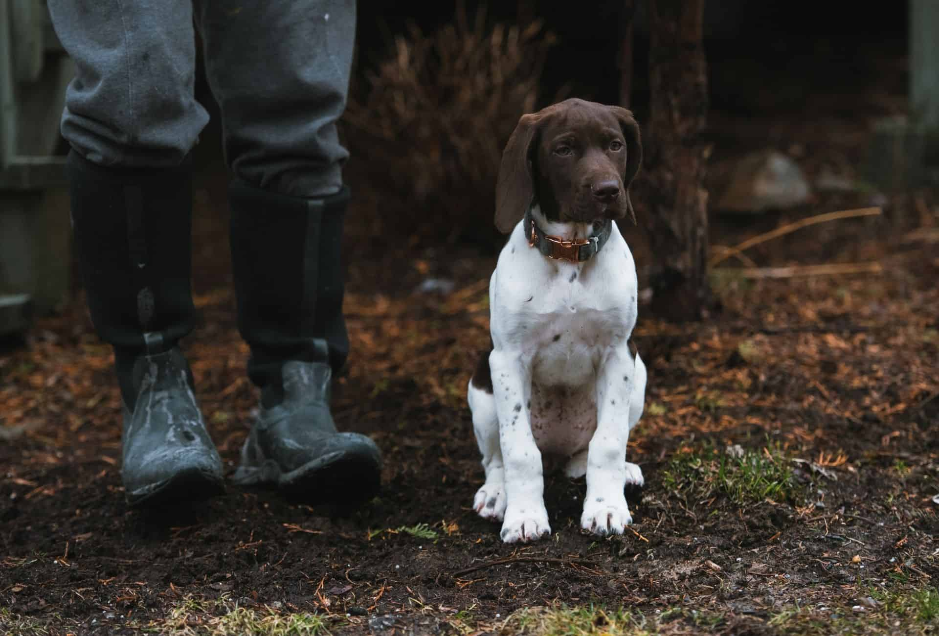 German Shorthaired Pointer puppy with big-boned legs outdoors next to a human handler in boots.