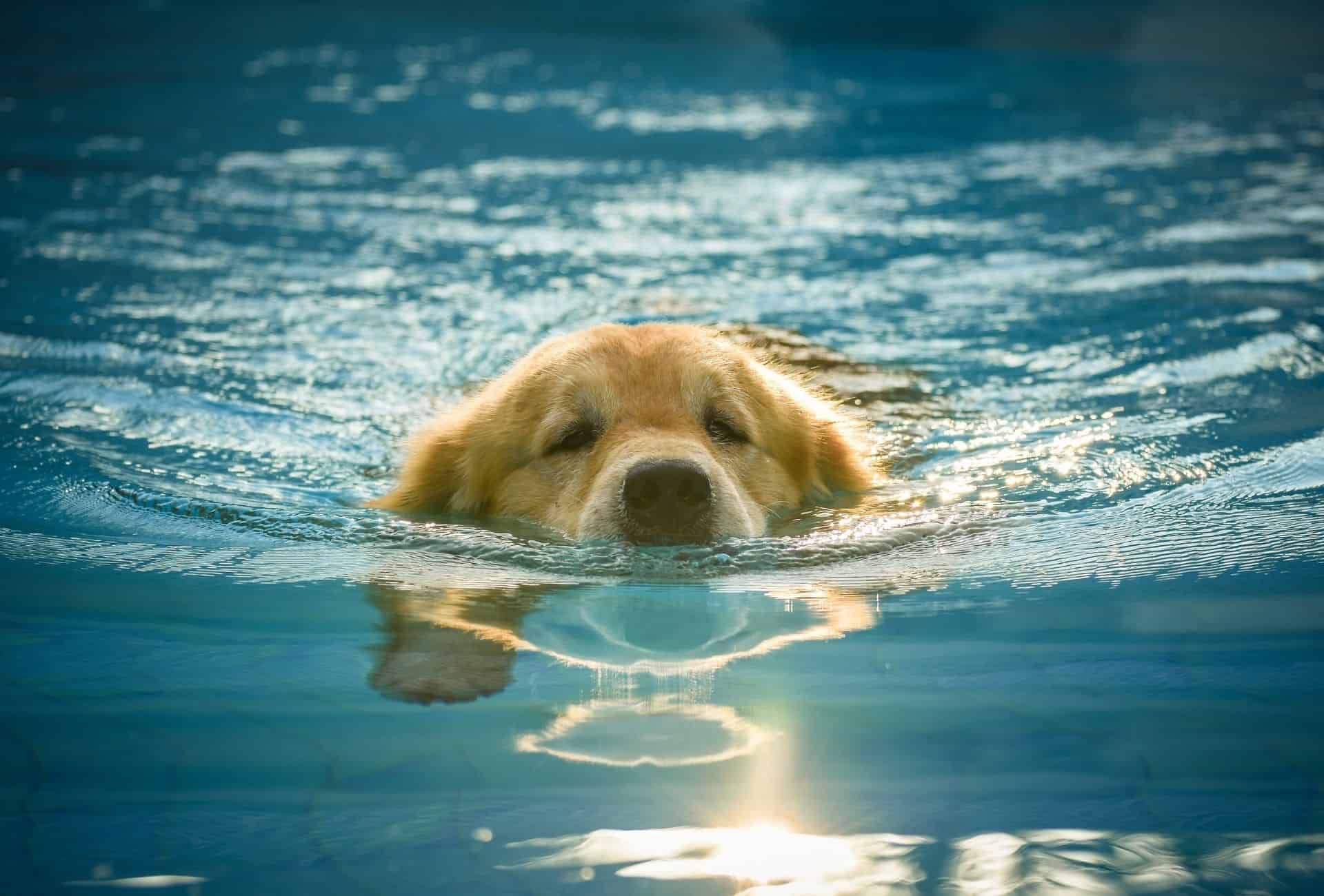 Golden Retrievers swims with his head barely above water as a way to exercise joint-friendly.