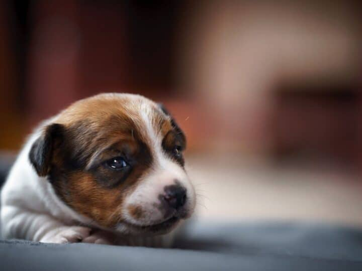 Newborn puppy in focus, defying the odds of being born as a dead puppy.
