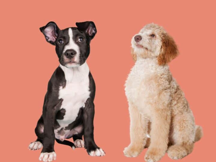 Black and white Pitbull puppy stands next to a cream-coloured Poodle pup looking up.