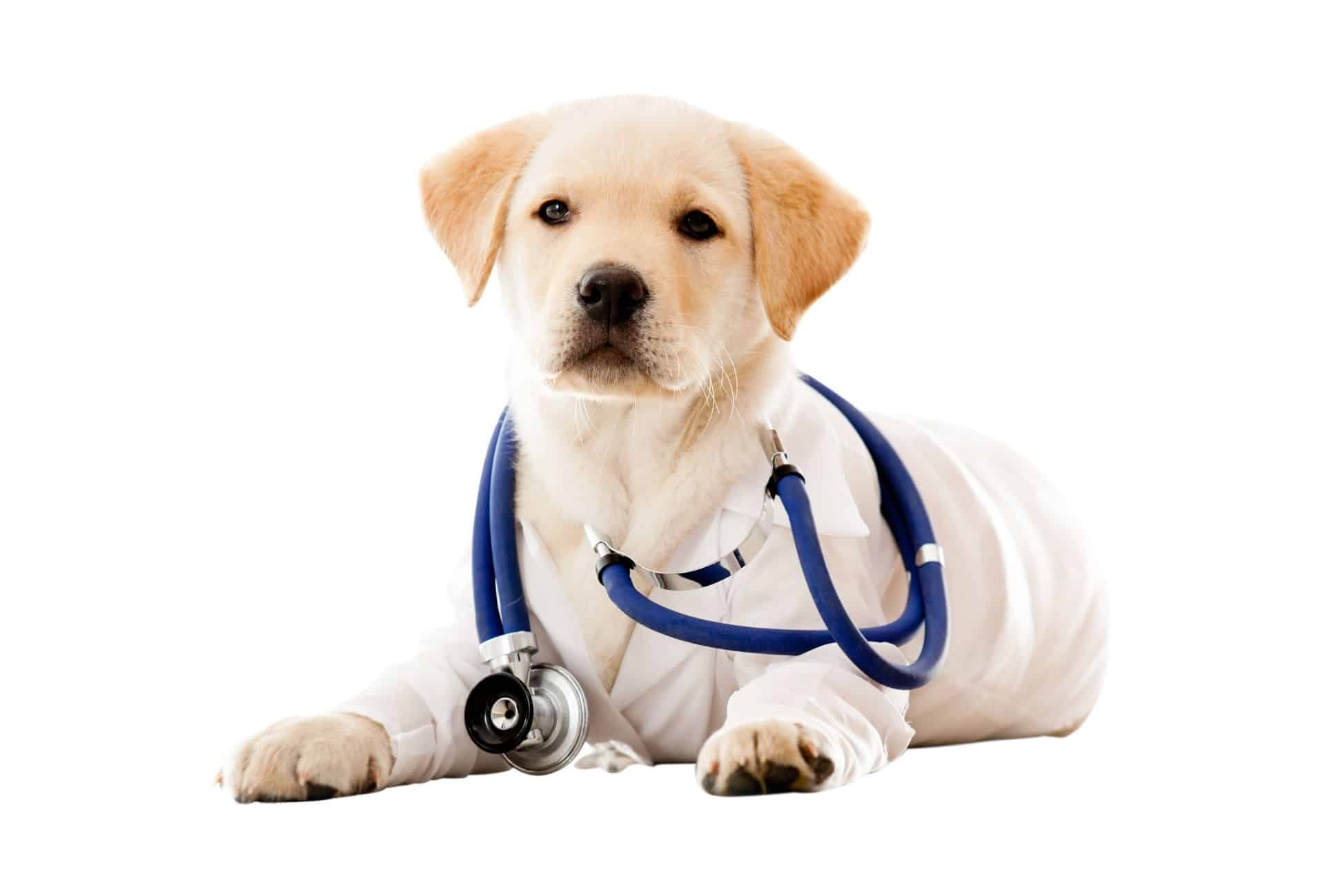 Cream-colored Labrador puppy wears veterinarian clothing with a stethoscope around the neck.