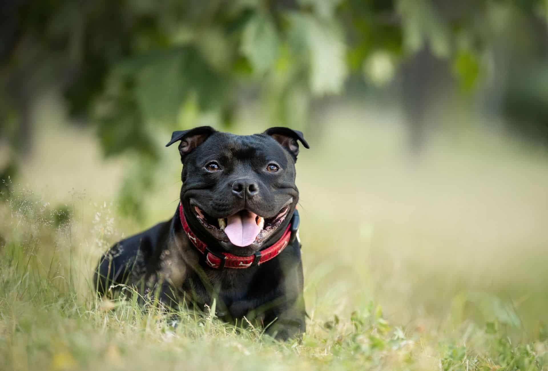 Staffordshire Bullterrier as best guard dog for first time dog owners.