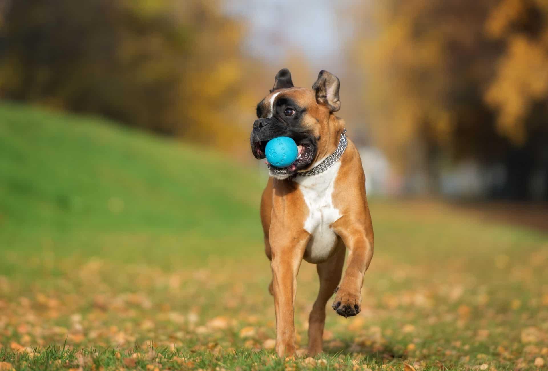 Boxer recuperando una bola azul, lo que demuestra que si bien los boxeadores son observadores y buenos perros guardianes, son perros divertidos para los propietarios primerizos.