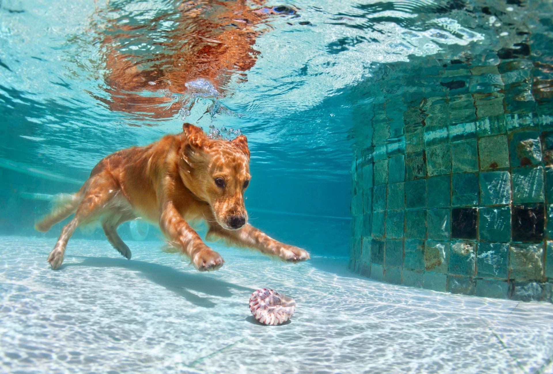 Dog diving in a pool.