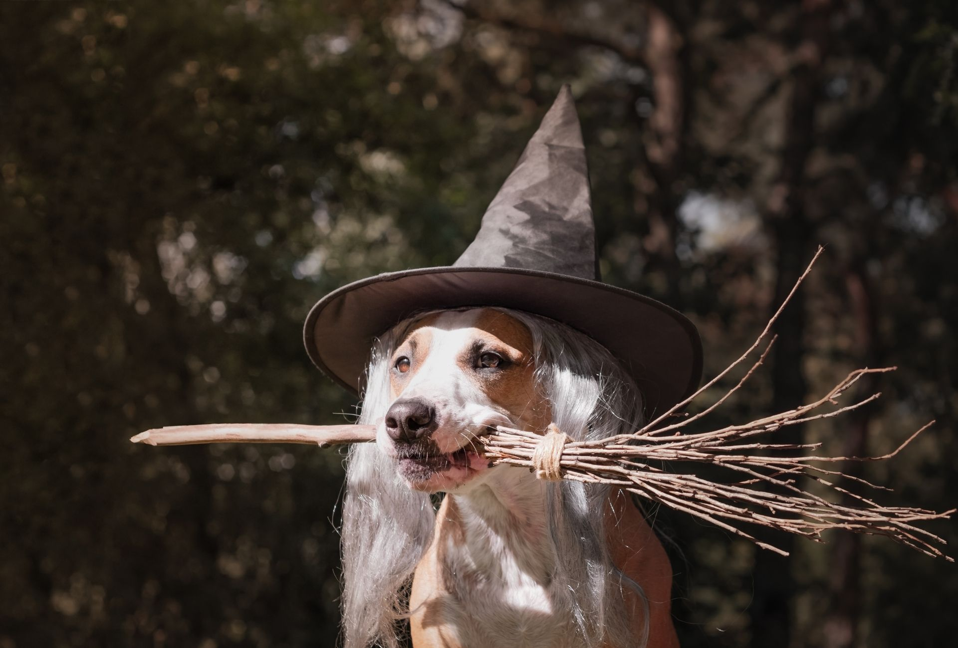 Dog carries a witch broom between the fangs and wears a witch hat.
