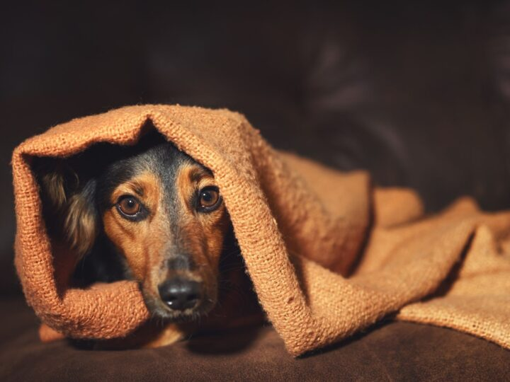 Small dog hiding under a brown blanket in a dimly lit room.
