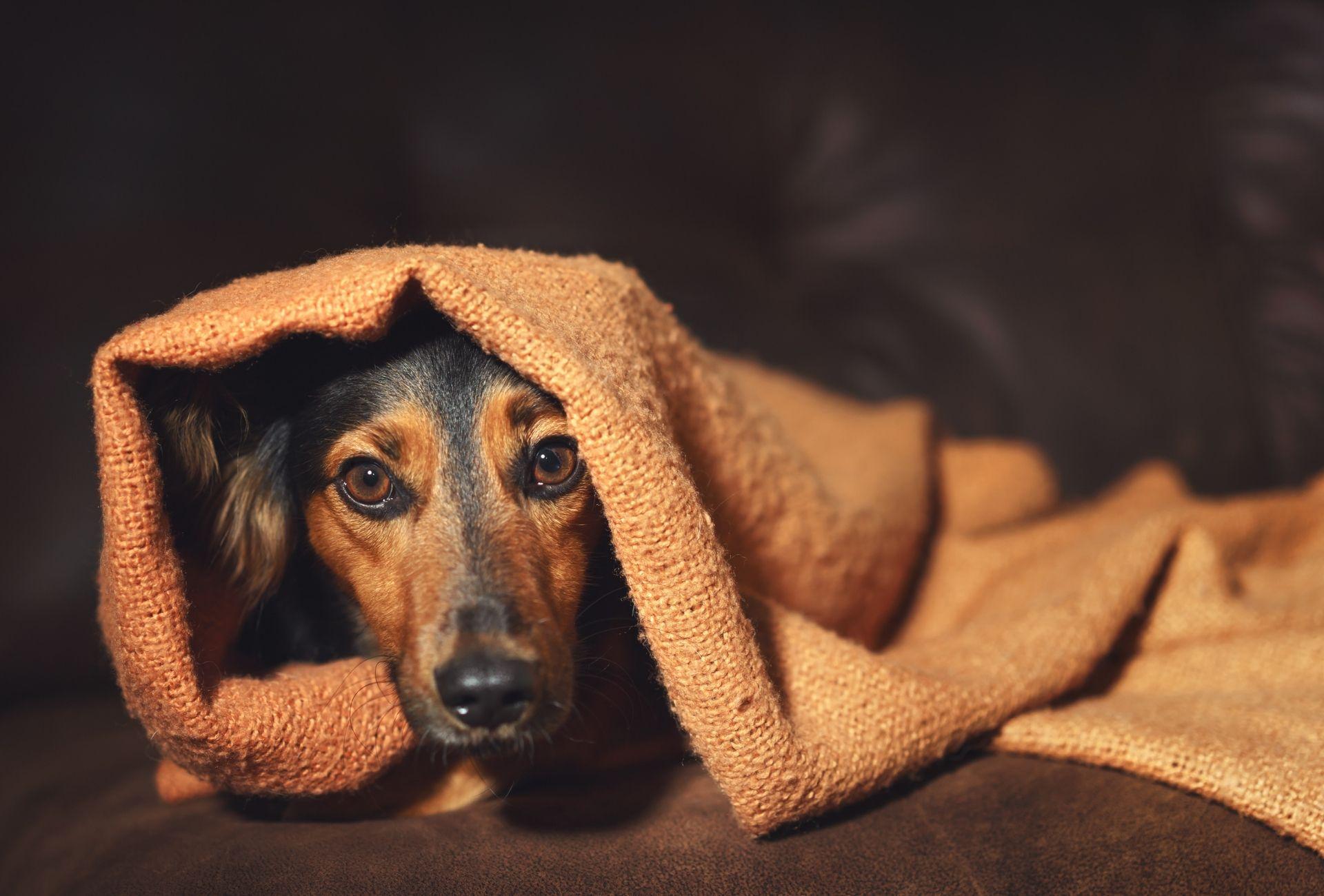 La paranoia en los perros puede ser una de las razones por las que este perrito de repente parece ansioso y se esconde debajo de una manta marrón.